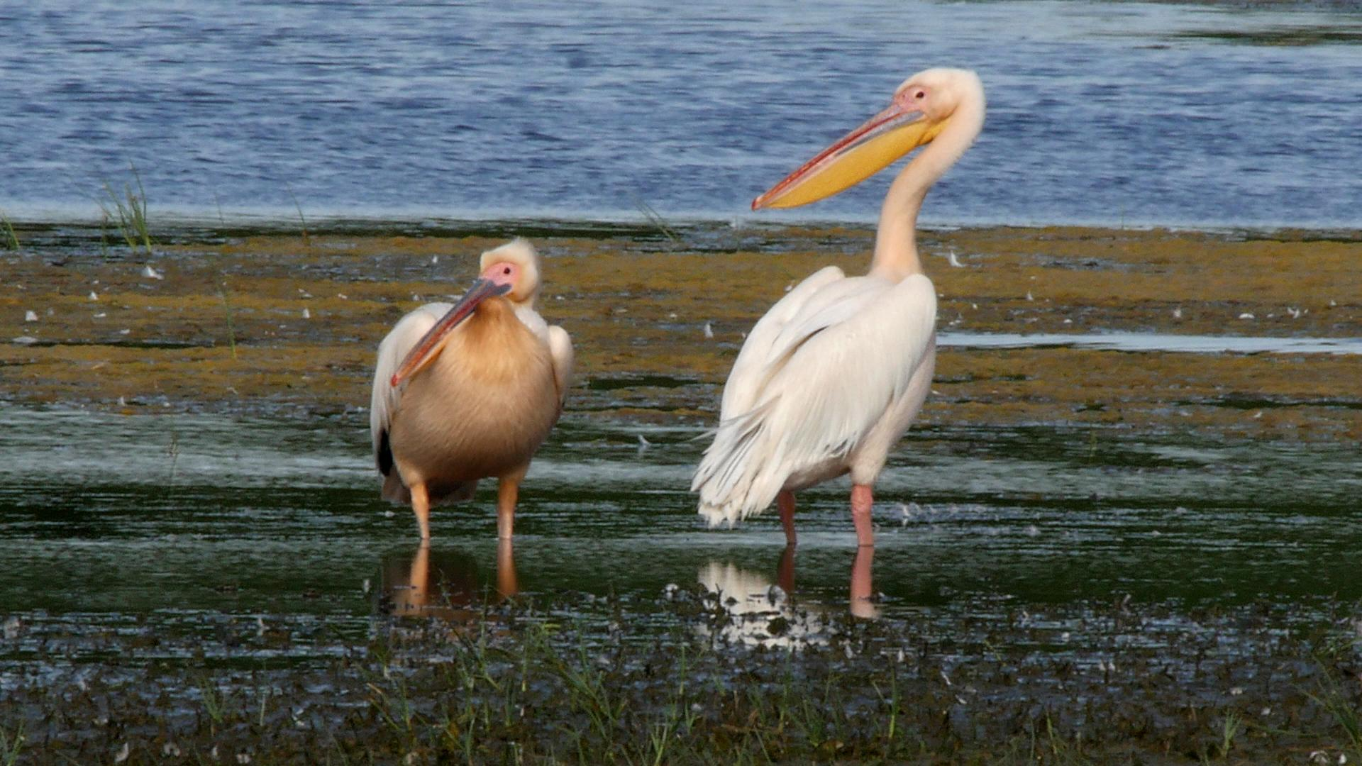 Great White Pelican (Pelecanus onocrotalus) Two birds resting on ...
