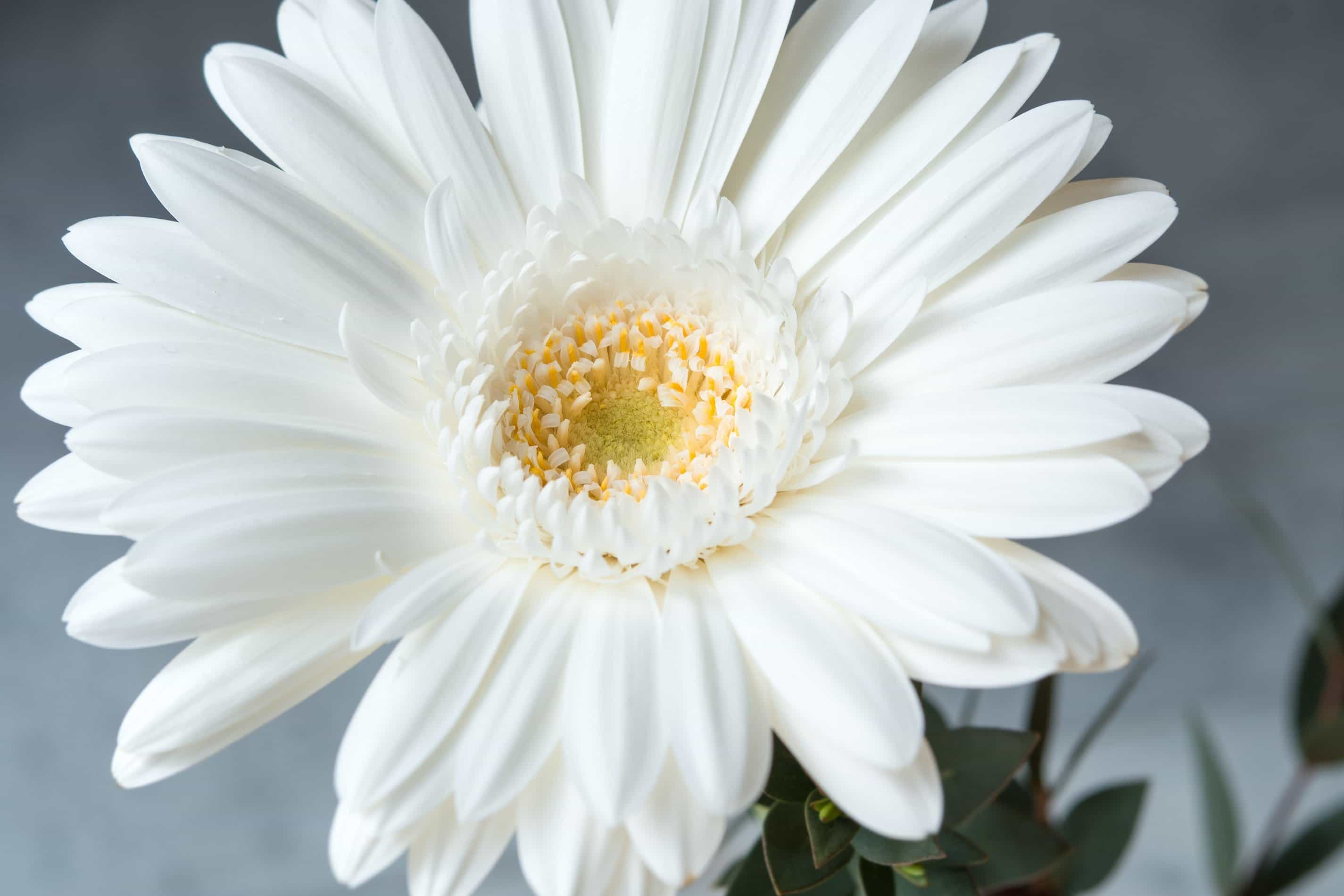 Free photo white petal flower outdoors nature petal free white petal flower mightylinksfo