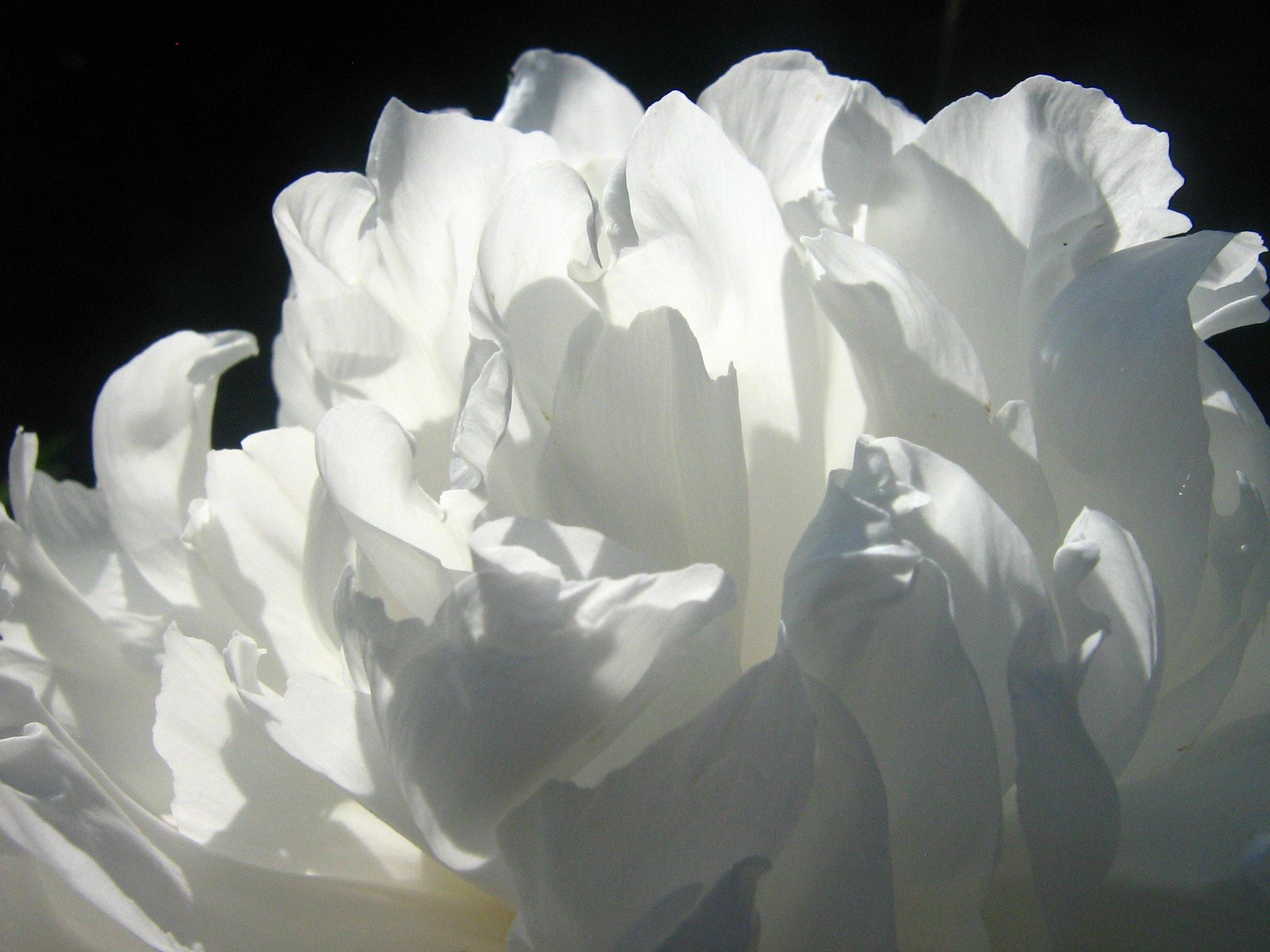 White Petal Flower, Petals, White, Flower, Close-up, HQ Photo