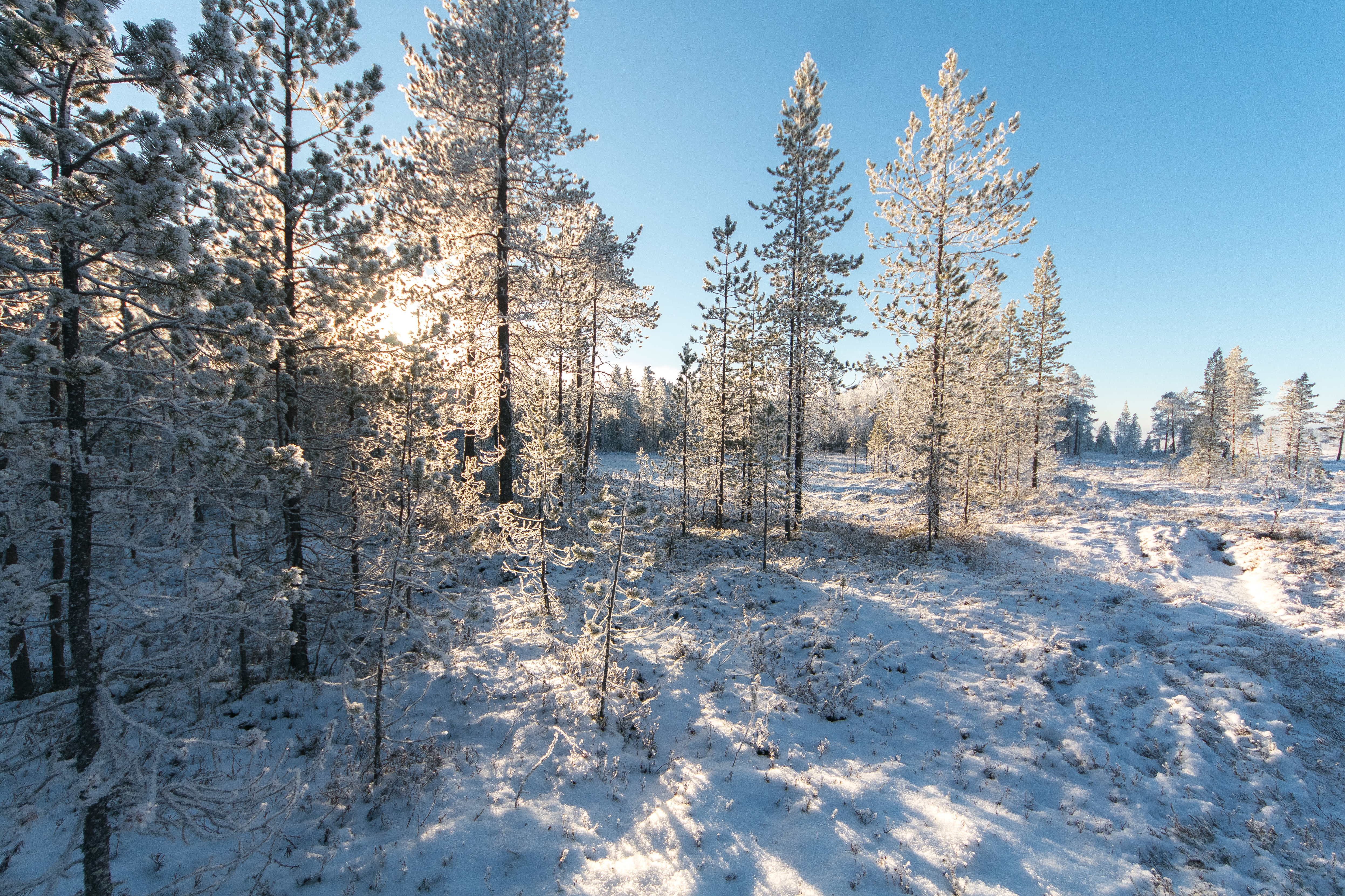 White Pine Trees, Branches, Pines, Winter landscape, Winter, HQ Photo