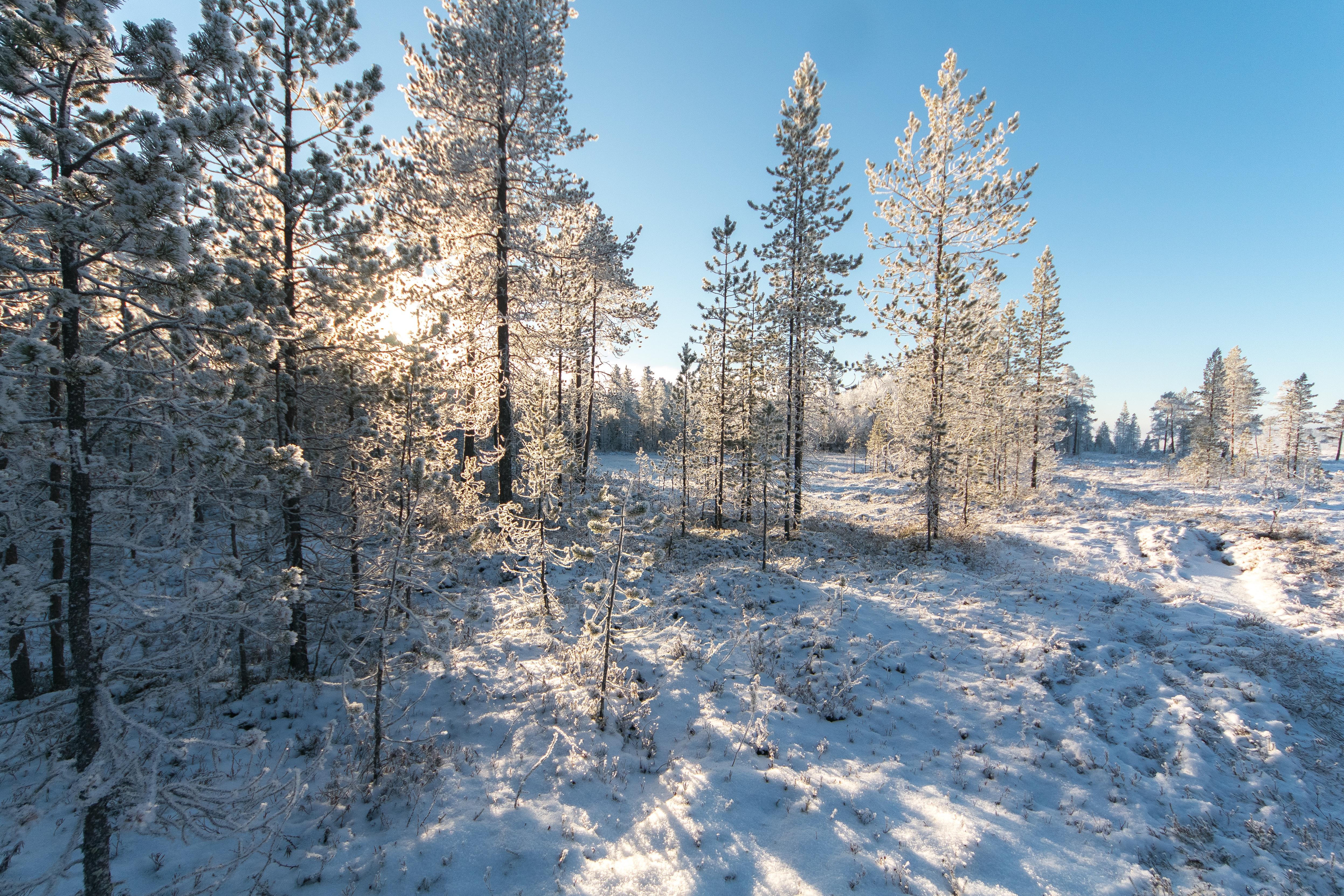 White pine trees photo