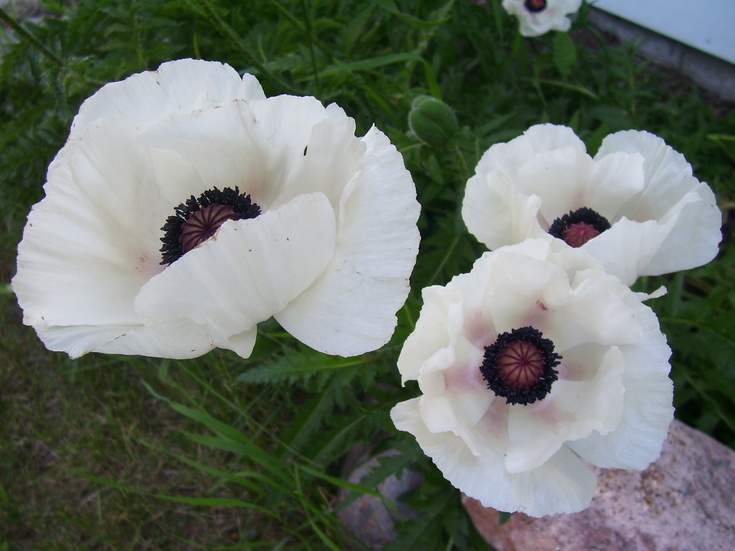 Free photo white poppy flower outdoors nature natural free poppy flower white images flower decoration ideas mightylinksfo