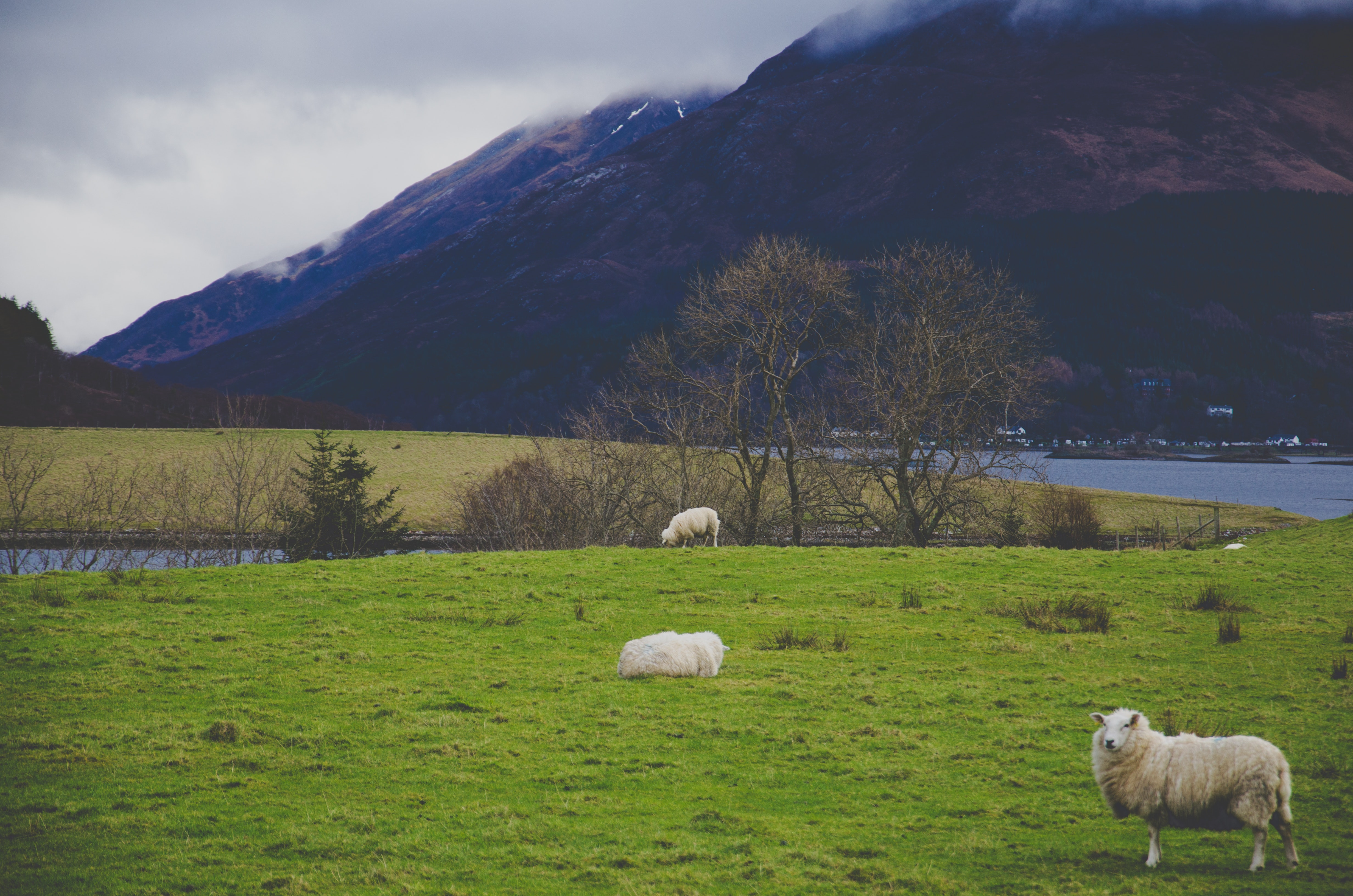 White sheep on green grass field photo
