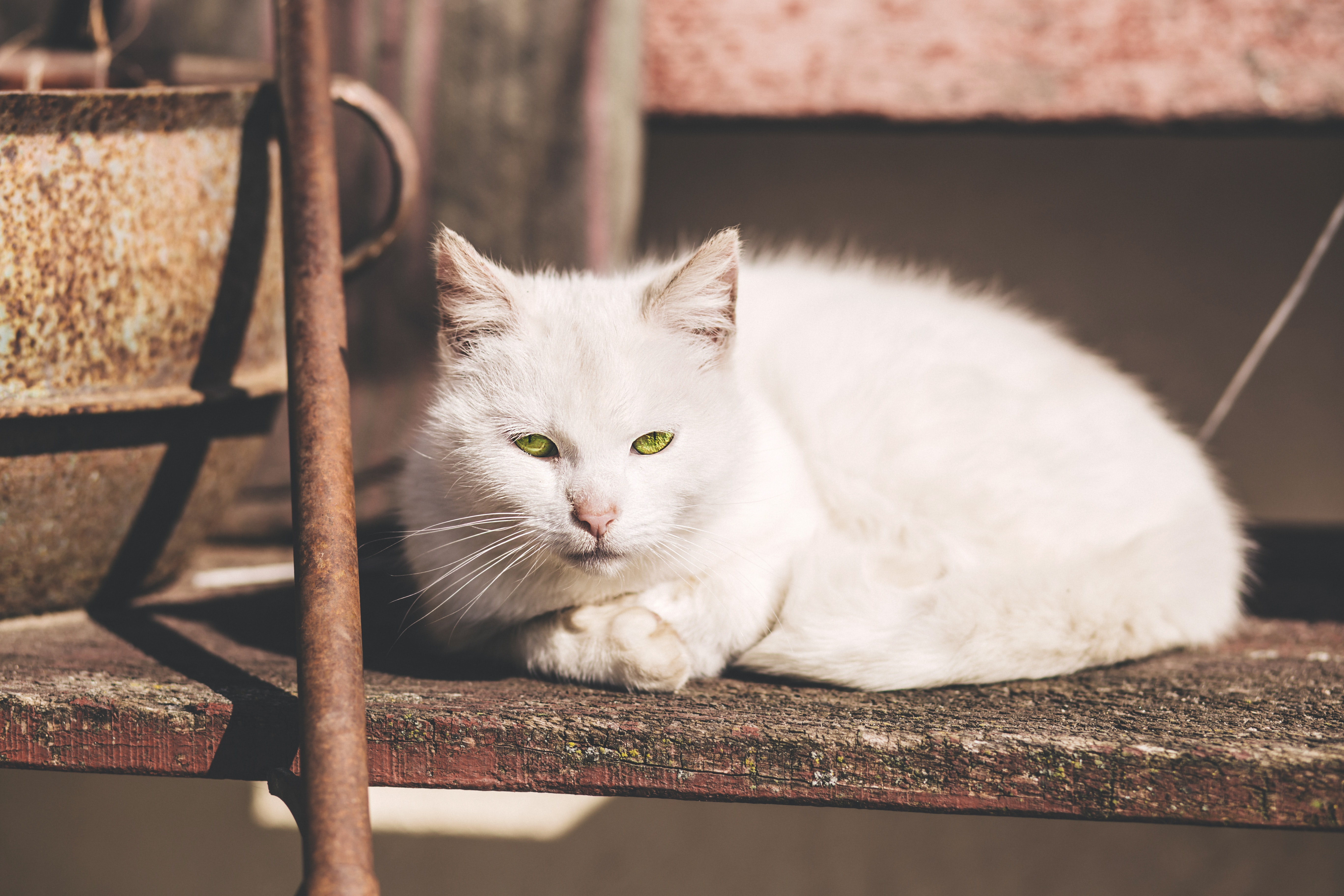 White short fur cat near brown metal rod photo