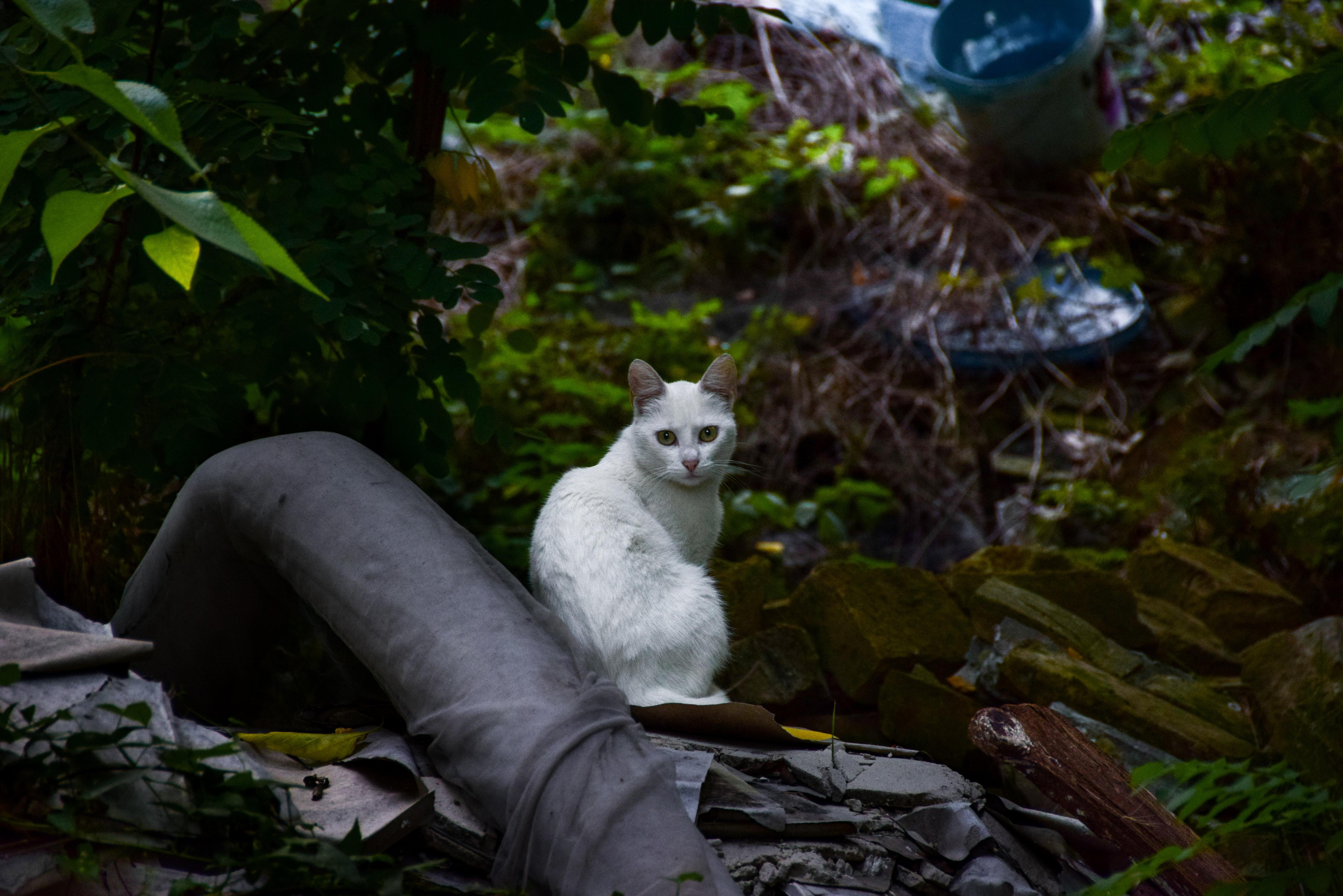 White Short Fur Cat, Animal, Cat, Daylight, Domestic animal, HQ Photo