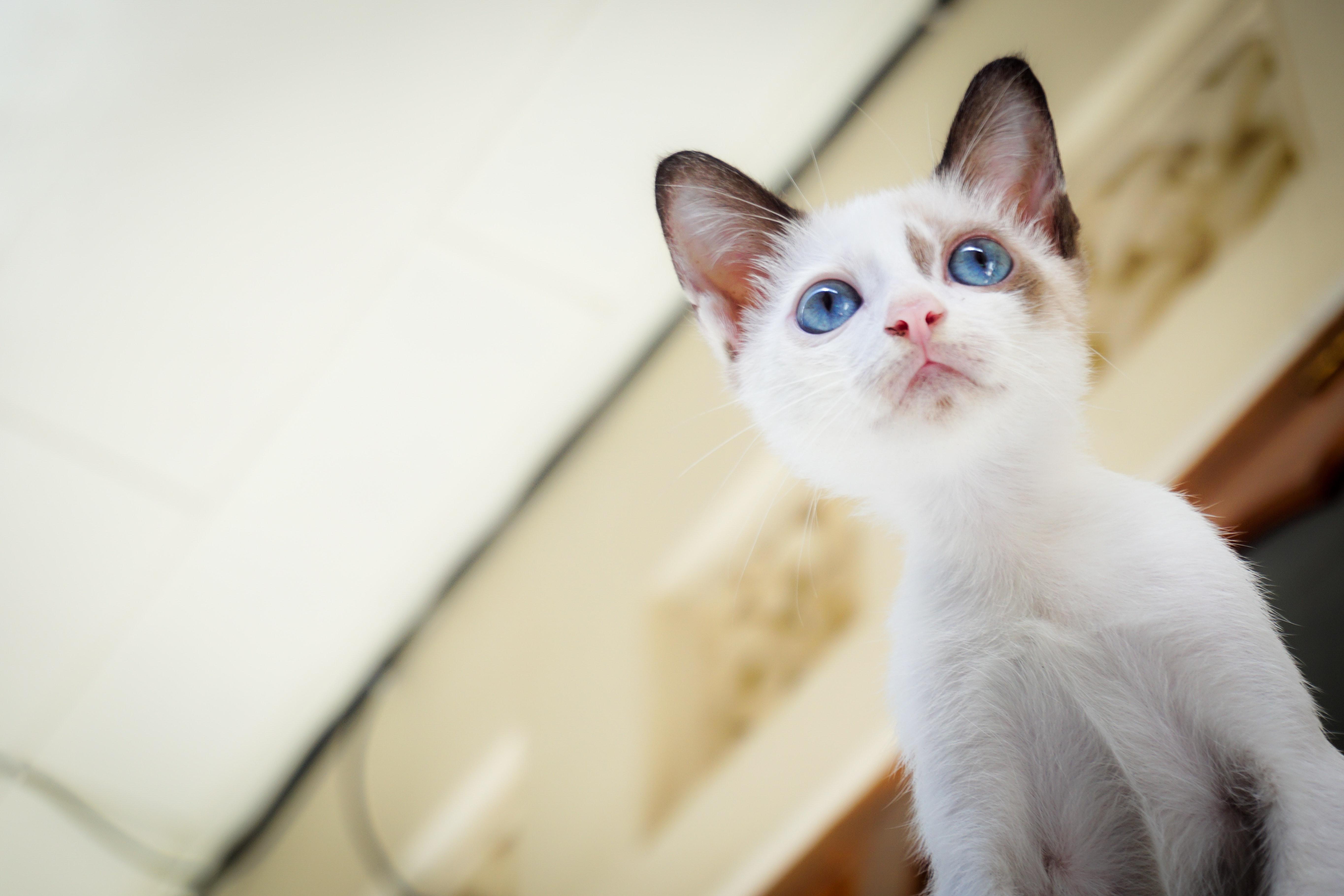 White short fur kitten with blue eyes photo