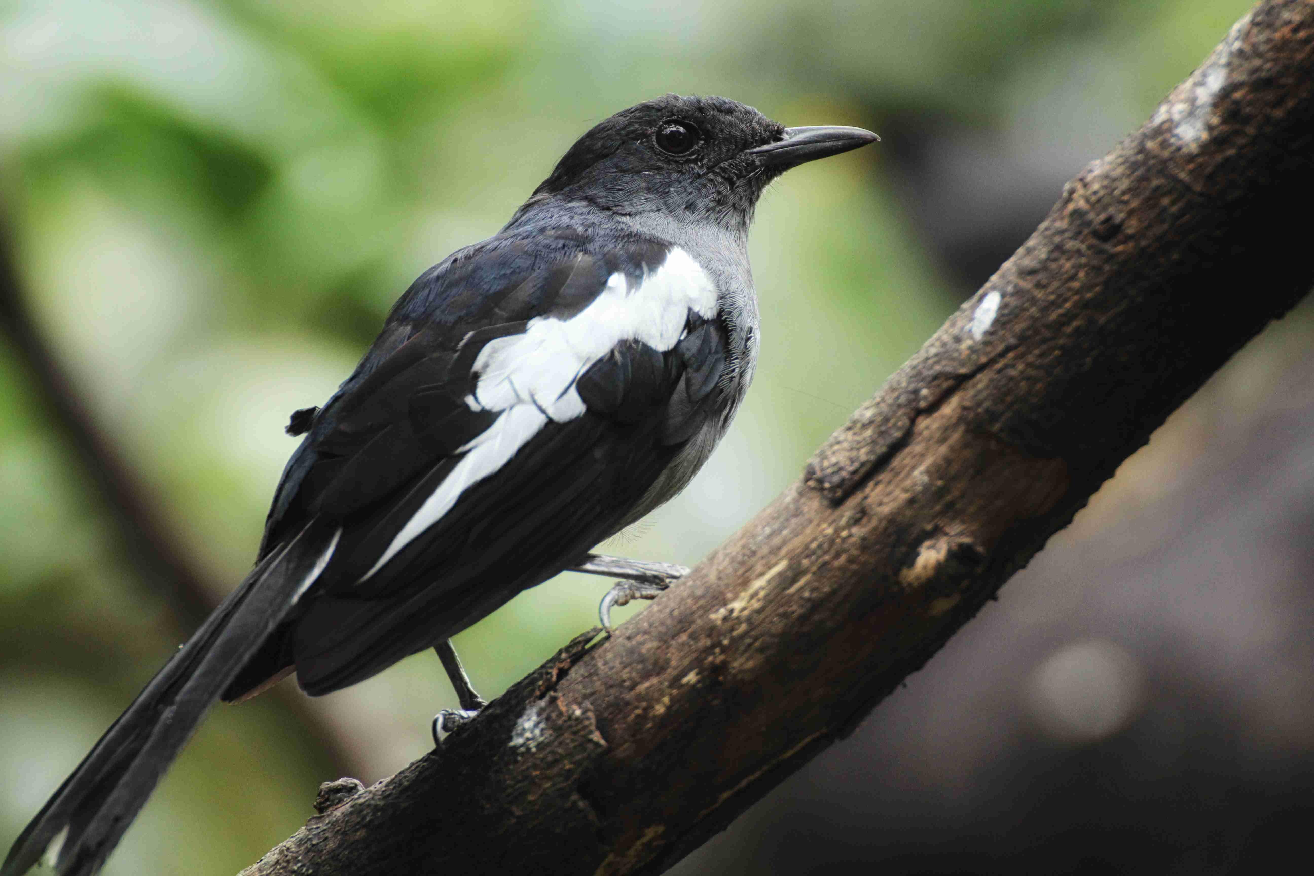 White-shouldered blackbird photo