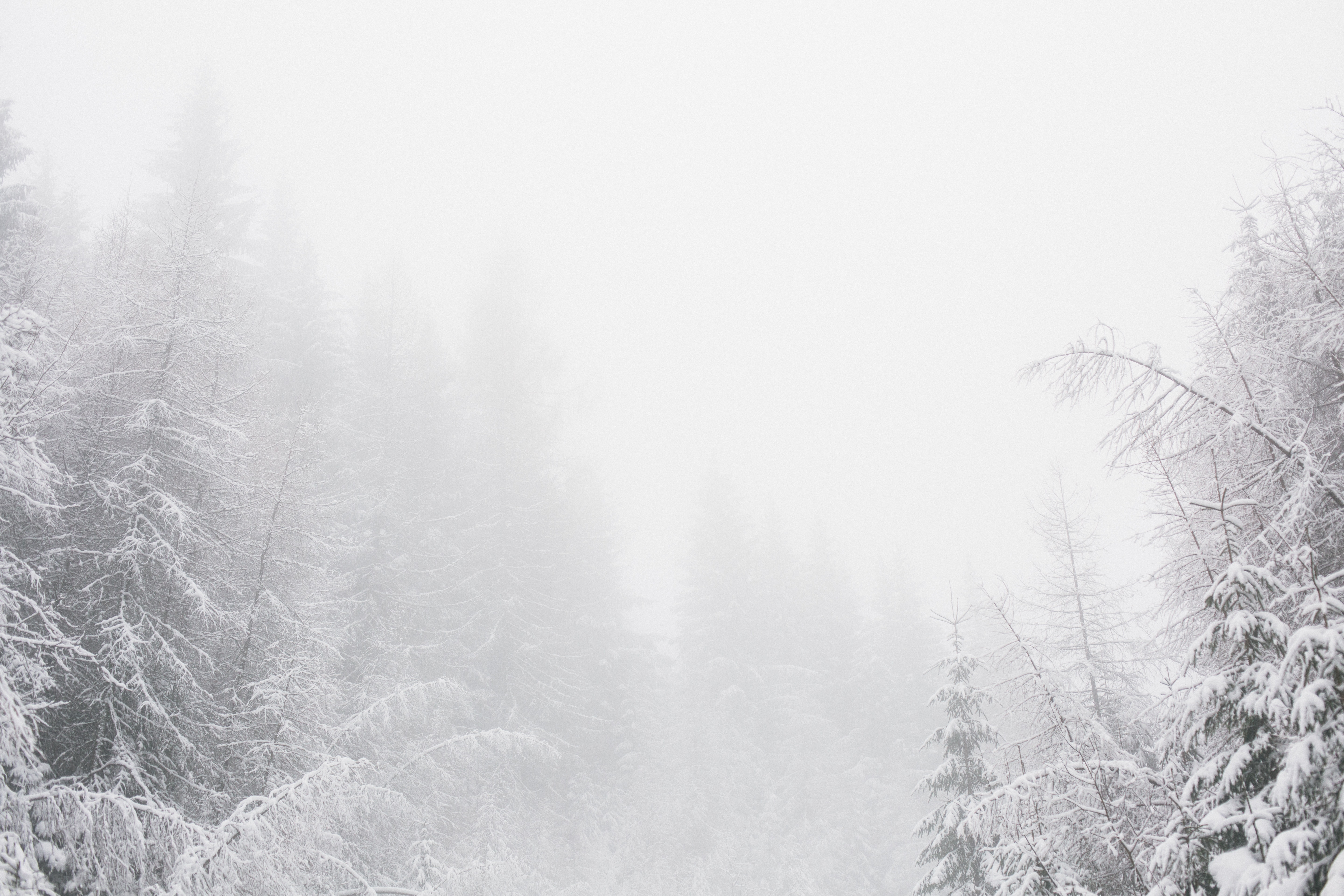 White snowy environment with pine trees photo
