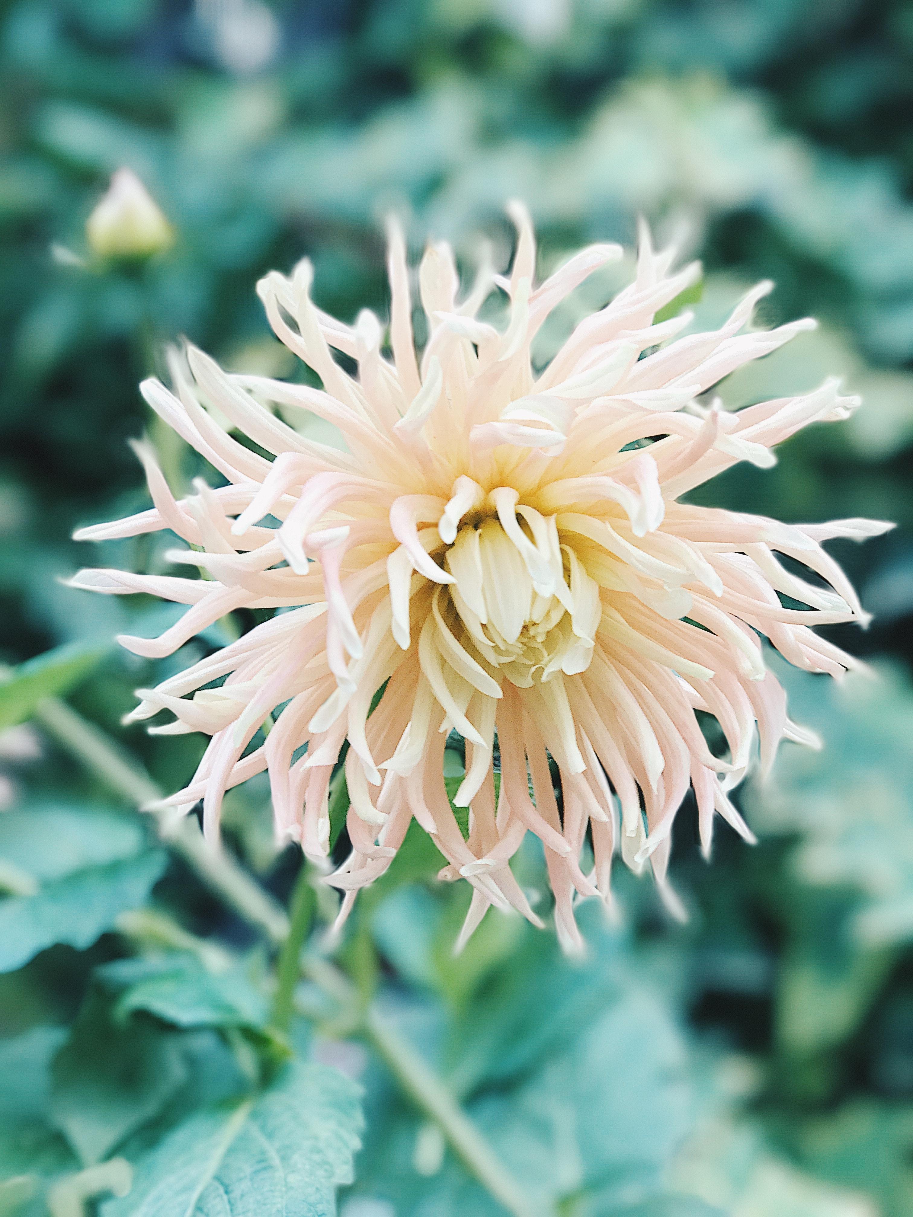 Free Photo White Spider Mum Flower Petal Petals Plant Free