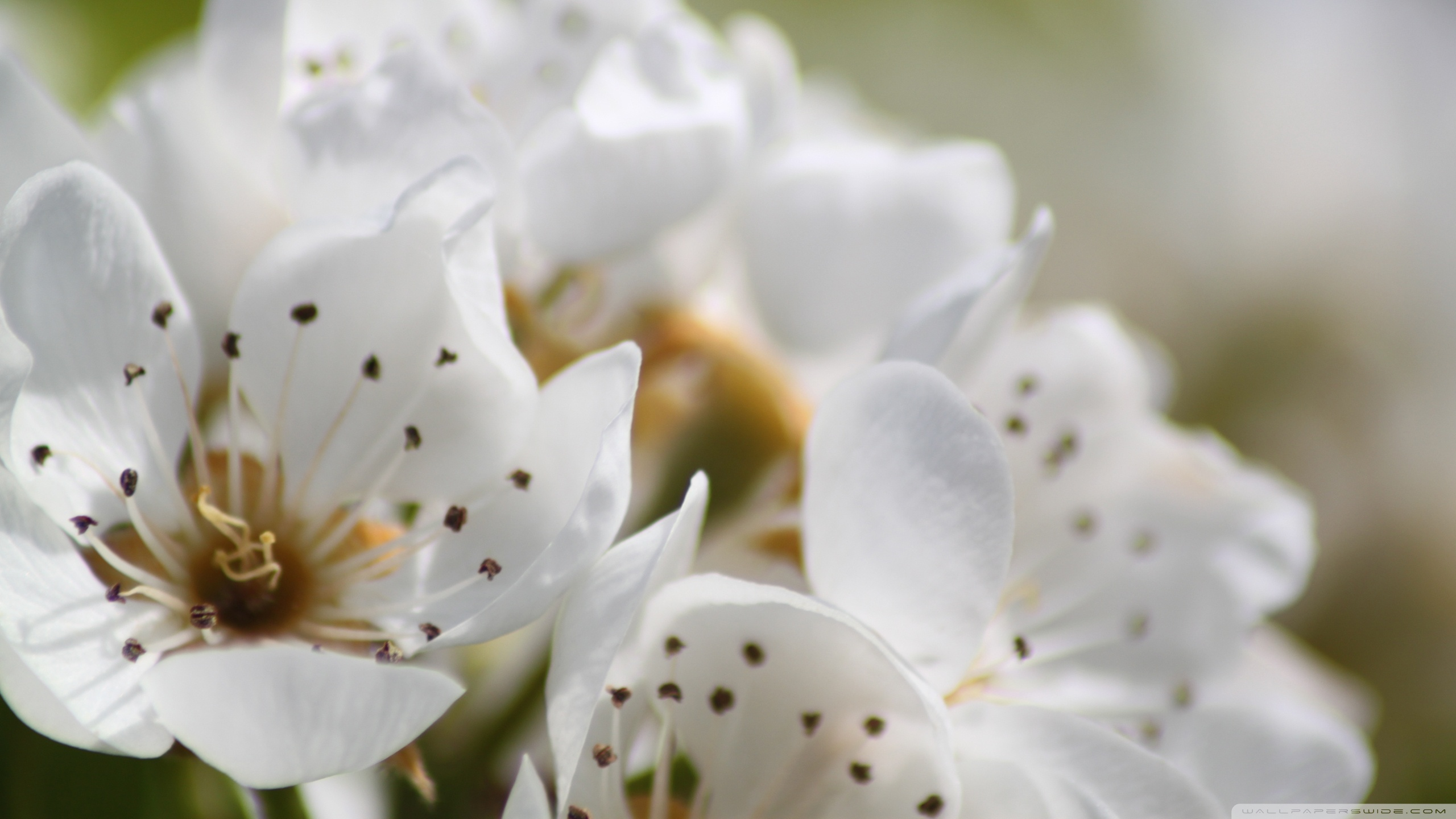 White spring flowers photo