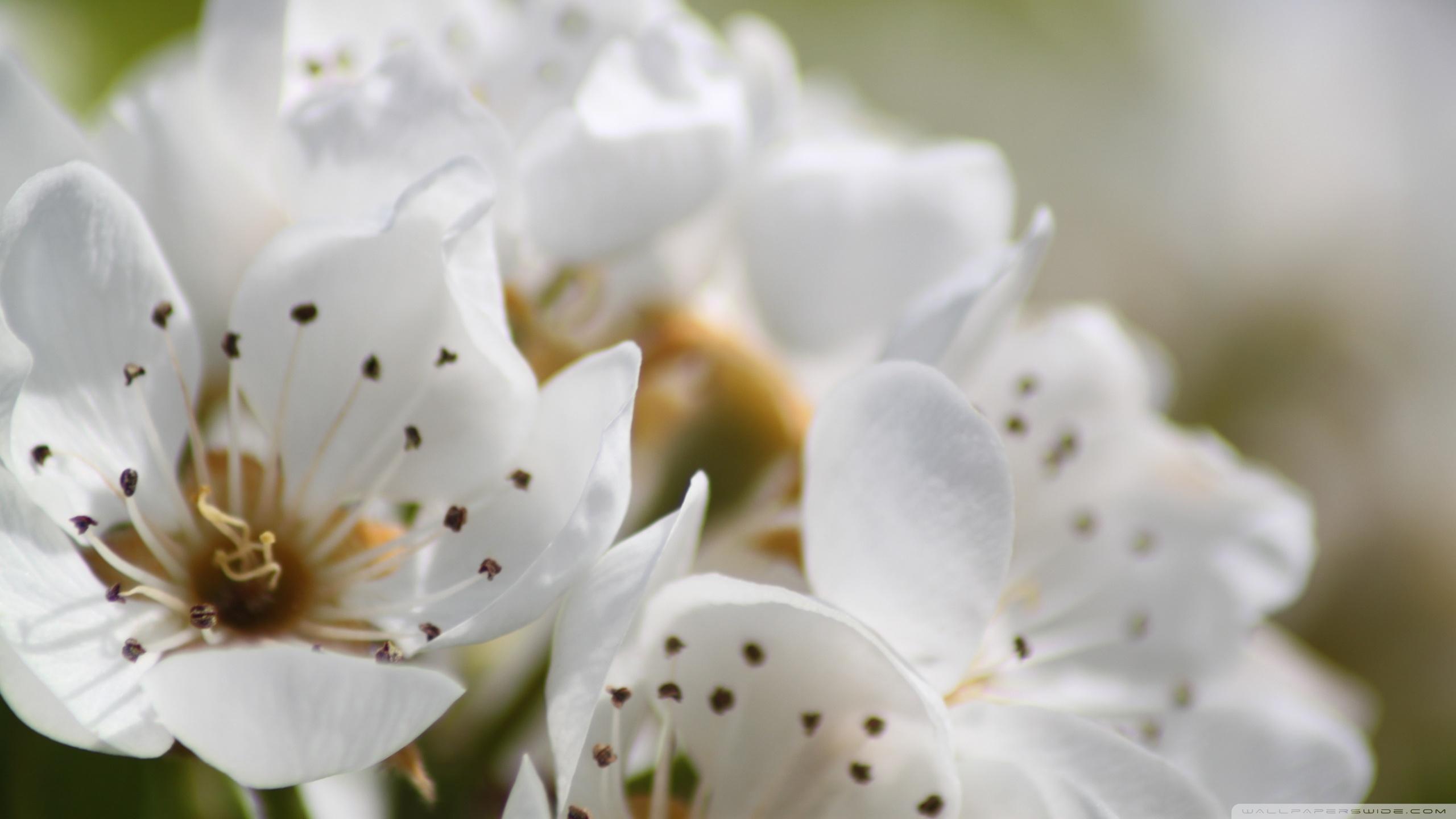 Free Photo White Spring Flowers Plant Seasonal Season Free