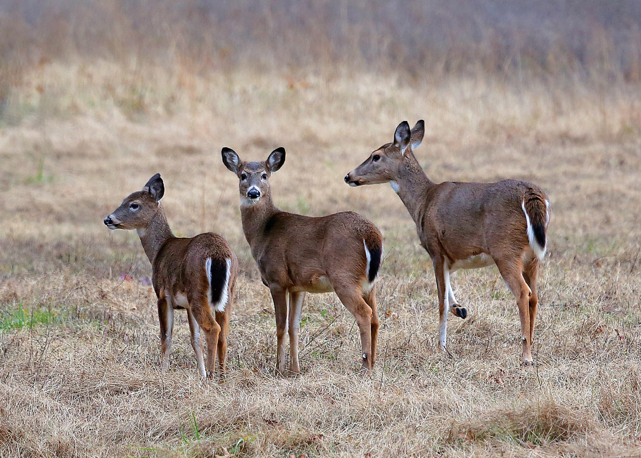 Discover Nature: White-Tailed Deer | KBIA