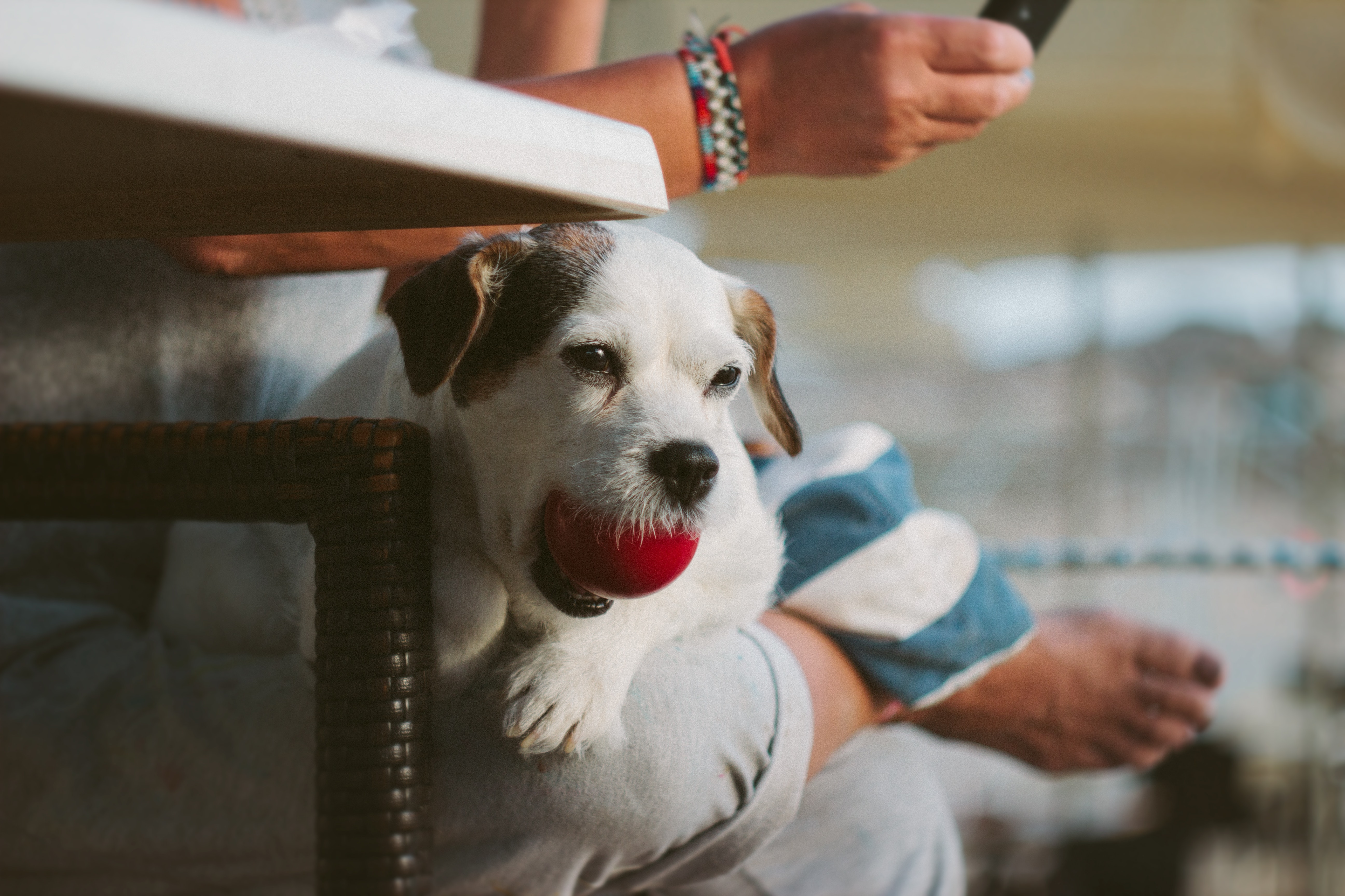 White Tank Long Coat Puppy Dog on Person's Lap With Ball in Mout, Adult, Mammal, Wear, Sit, HQ Photo