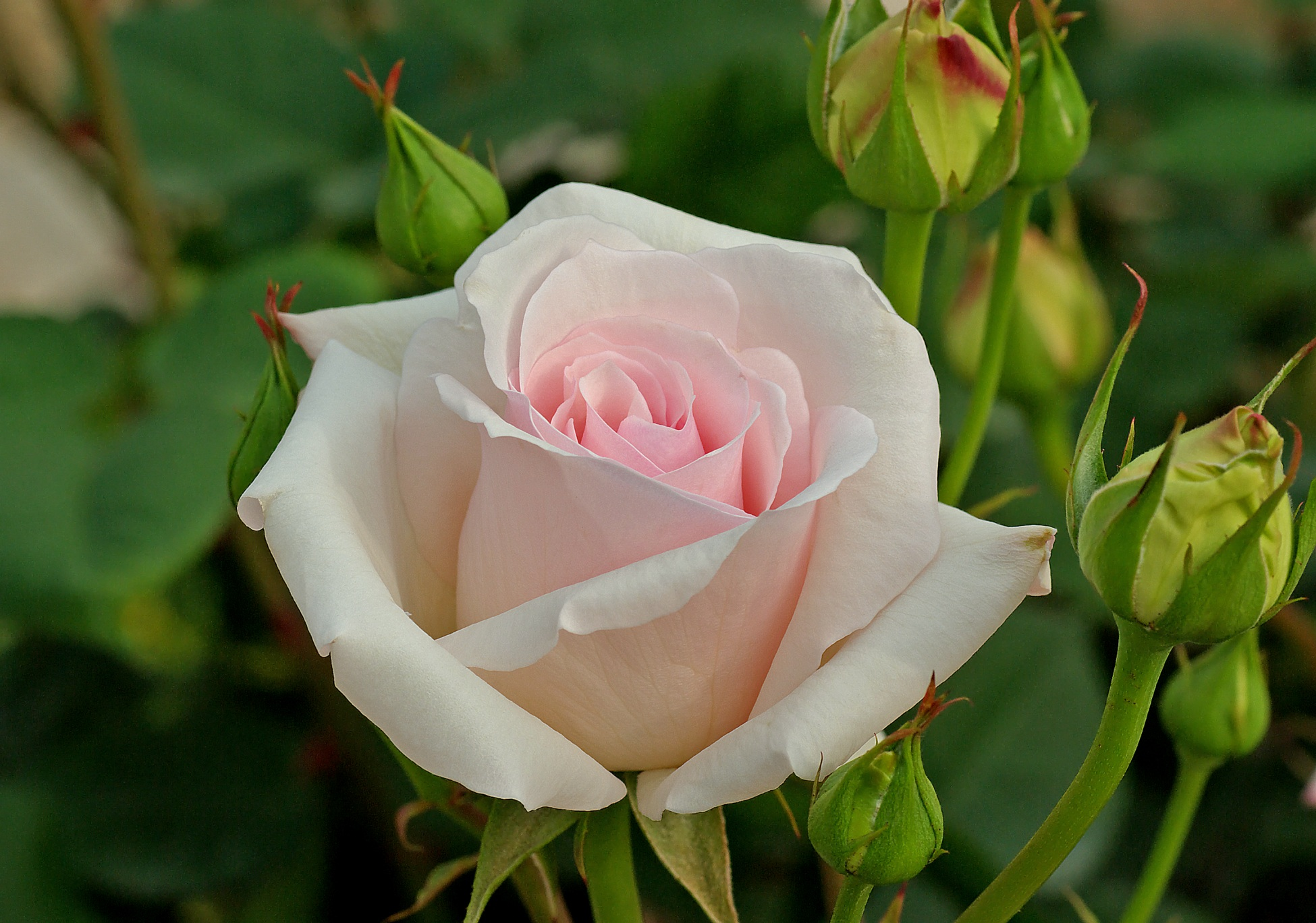 Free Photo White Tea Rose Rose Tea Garden Free Download Jooinn