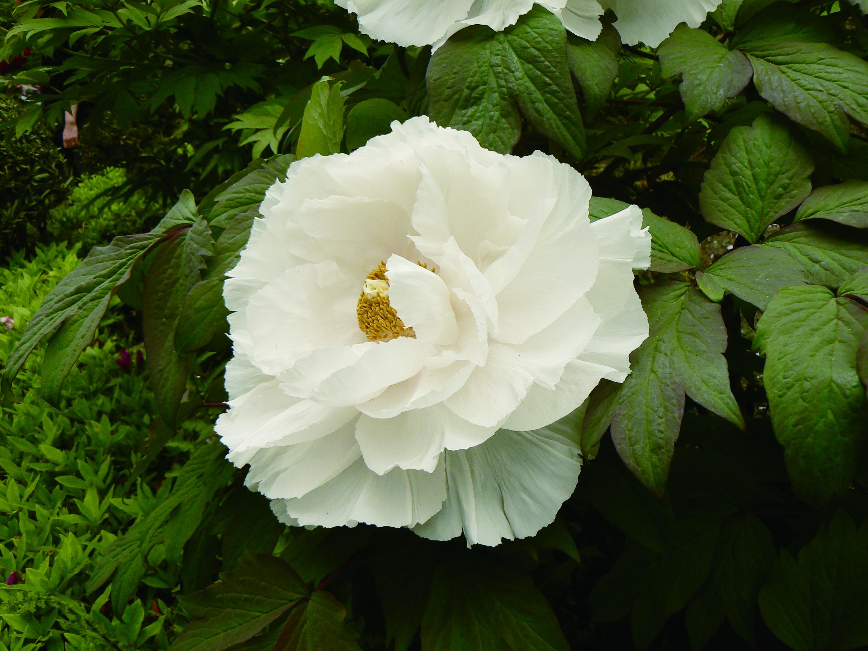 Tree Peony Peony Tree Renkaku (White) from Growing Colors