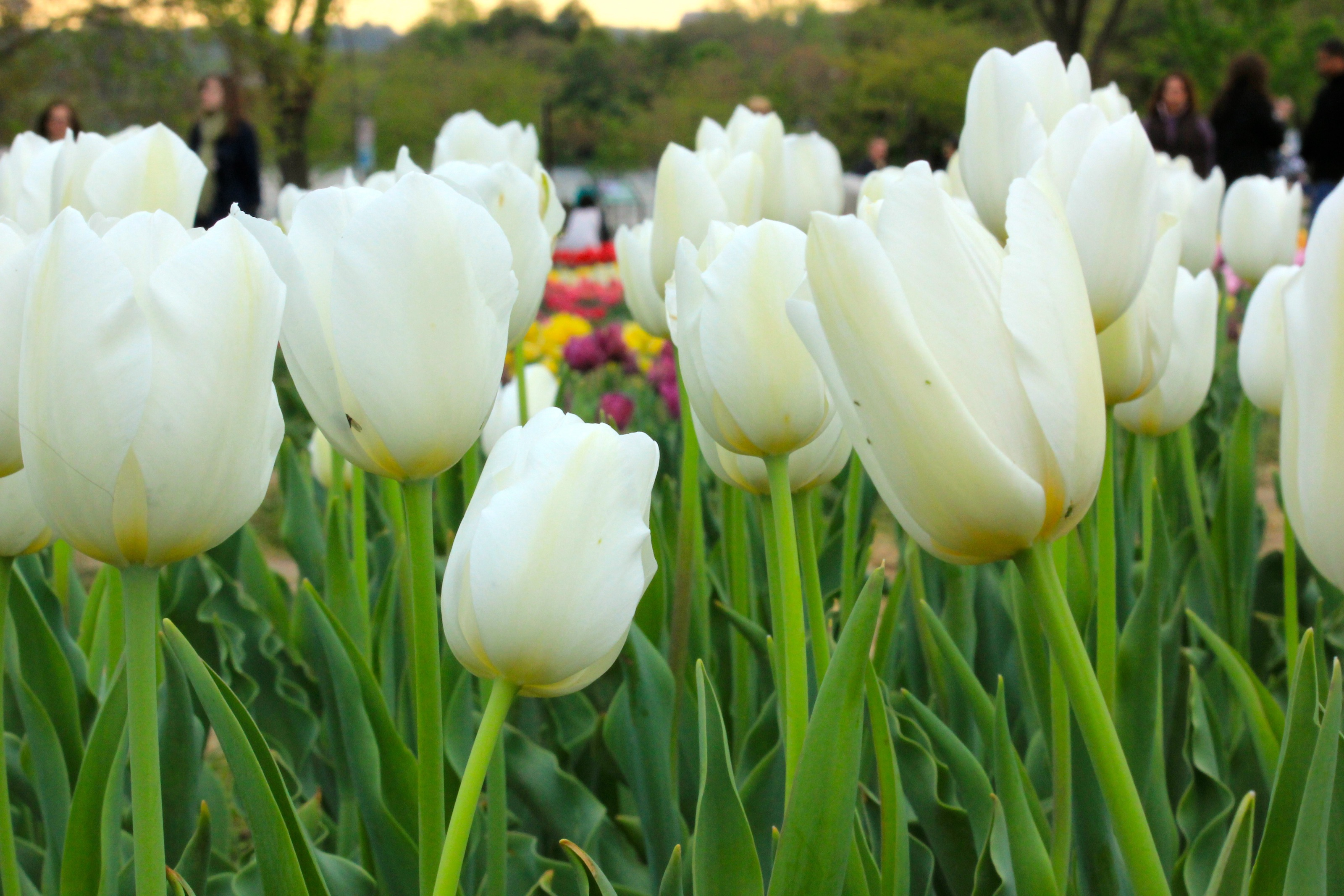 Free Photo White Tulip Photo Photograph Picture Commercial
