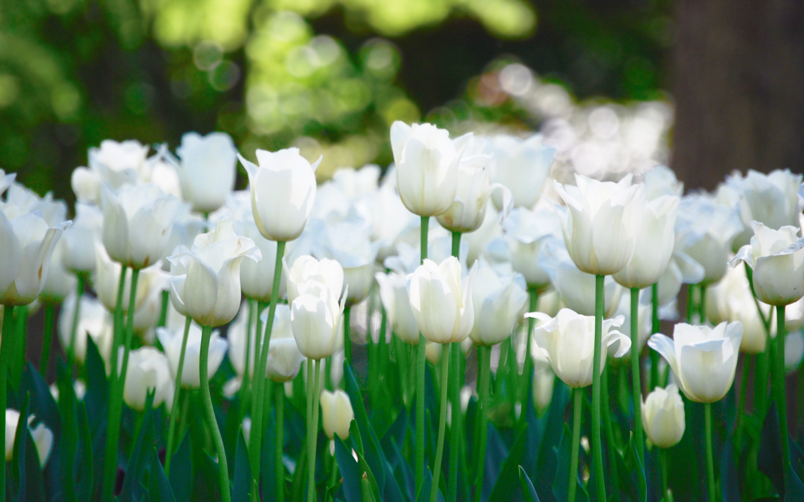 Free Photo White Tulips Romantic Spring Tulip Non Commercial