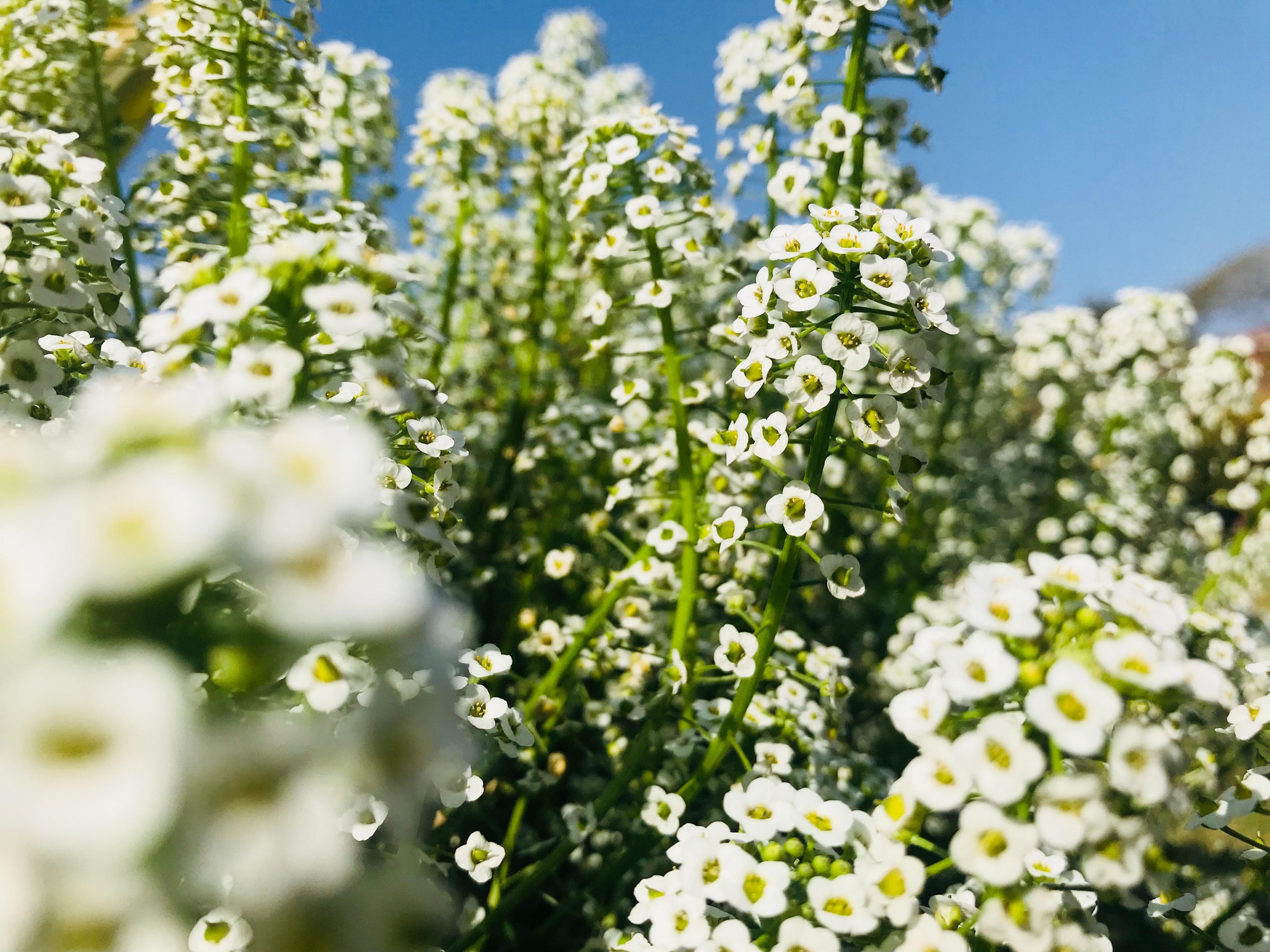 White verbena flowers photo