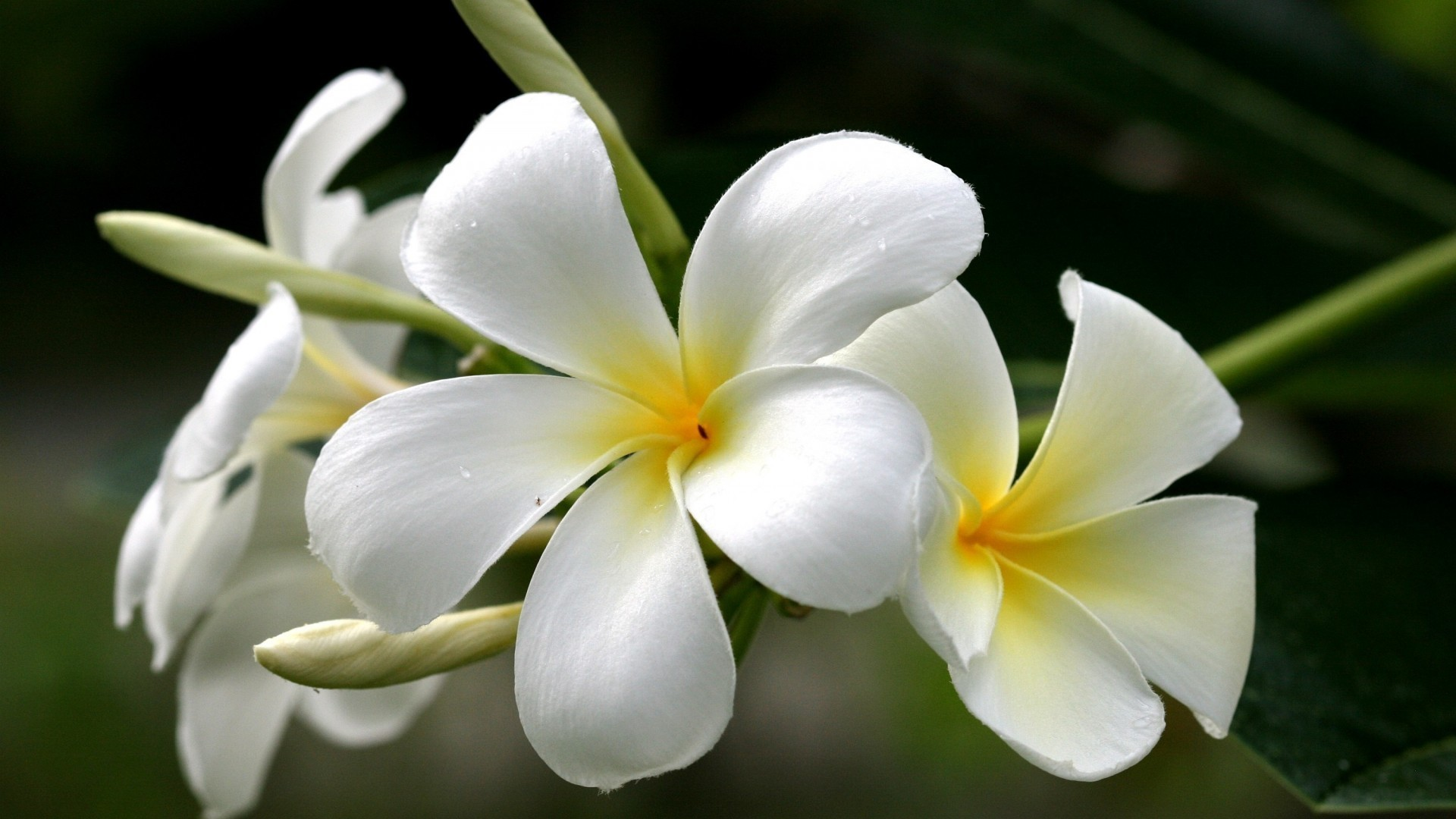 Flowers: Plumeria Flowers Yellow White Frangipani Nature 3d Desktop ...