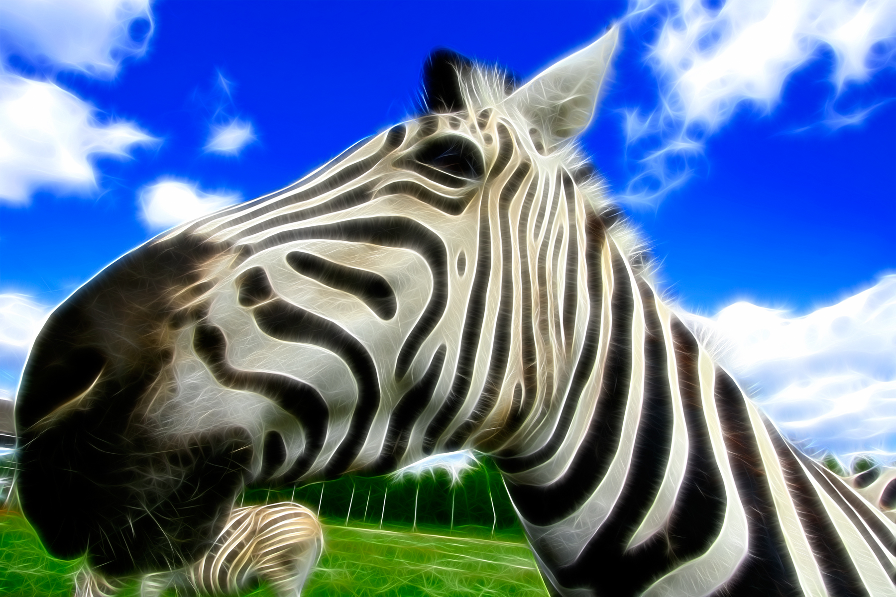 Wide-angle zebra photo