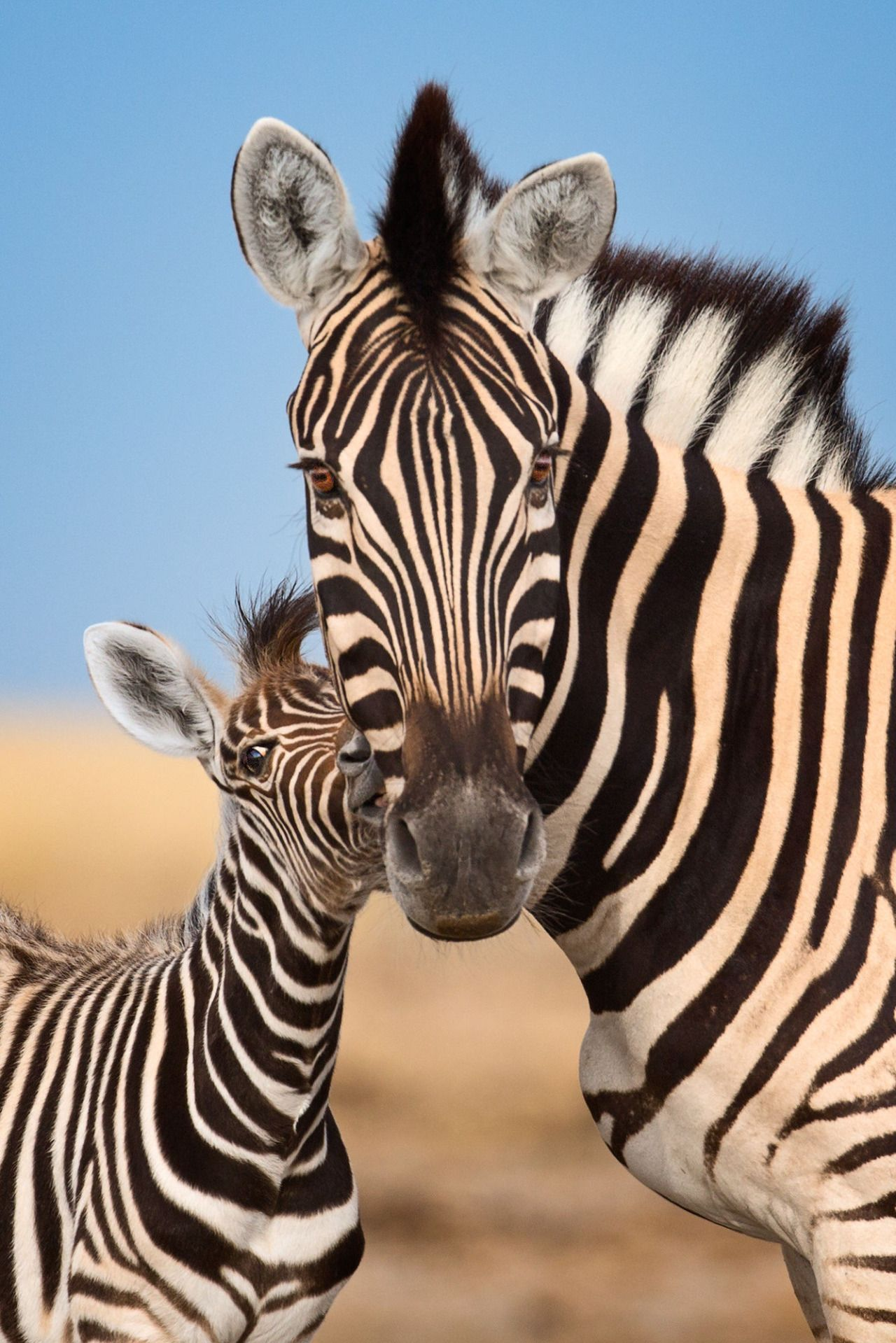 """beautiful-wildlife: """" Rubbing heads by Mogens Trolle A zebra foal ..."""