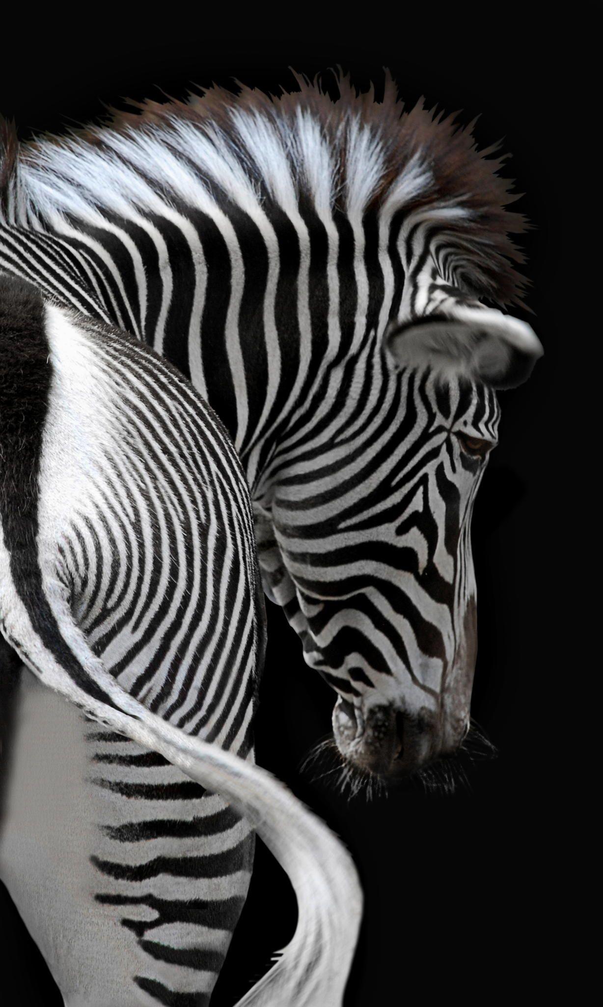african stripes por Joachim G. Pinkawa | ANIMAIS - animals ...