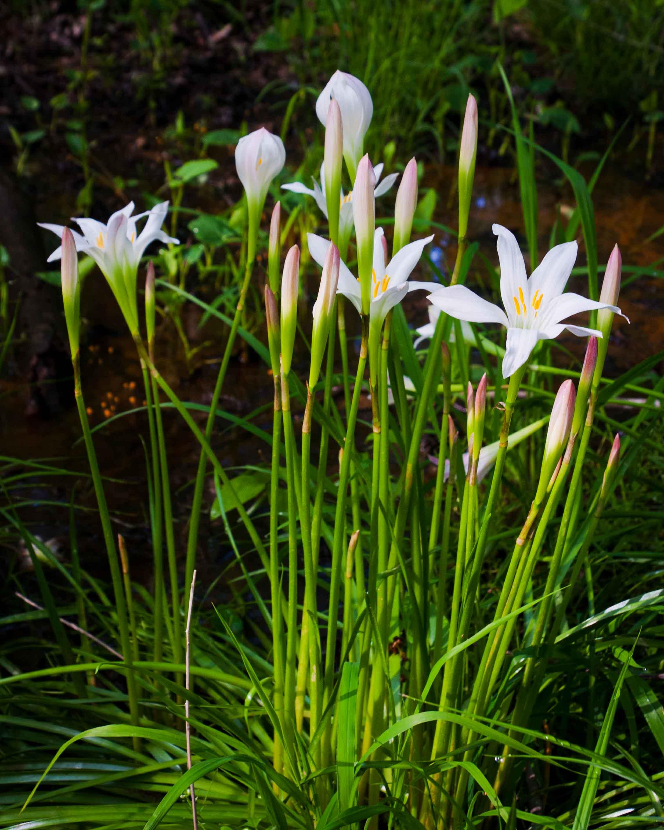Wild Easter Lily   Piedmont Gardener