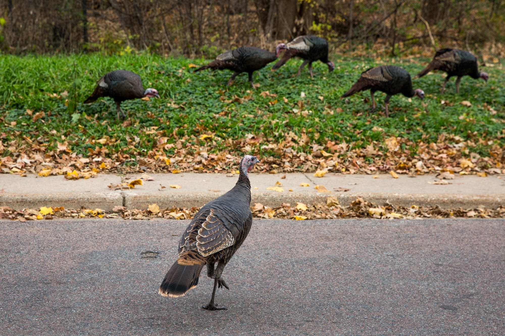 Wild turkeys in the Twin Cities: These aren't Thanksgiving birds ...