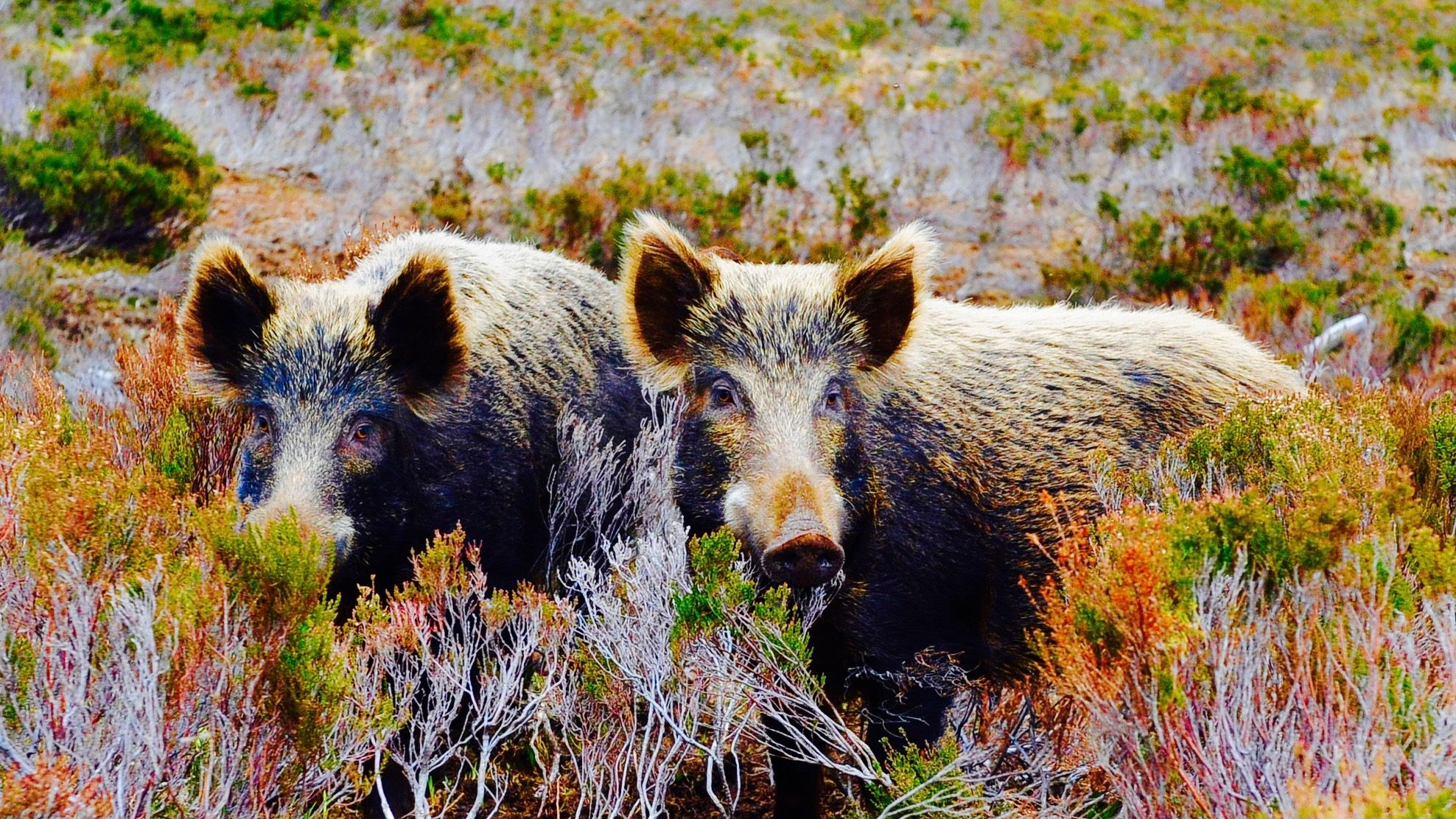 Radioactive wild boars in Sweden are eating nuclear mushrooms — Quartz