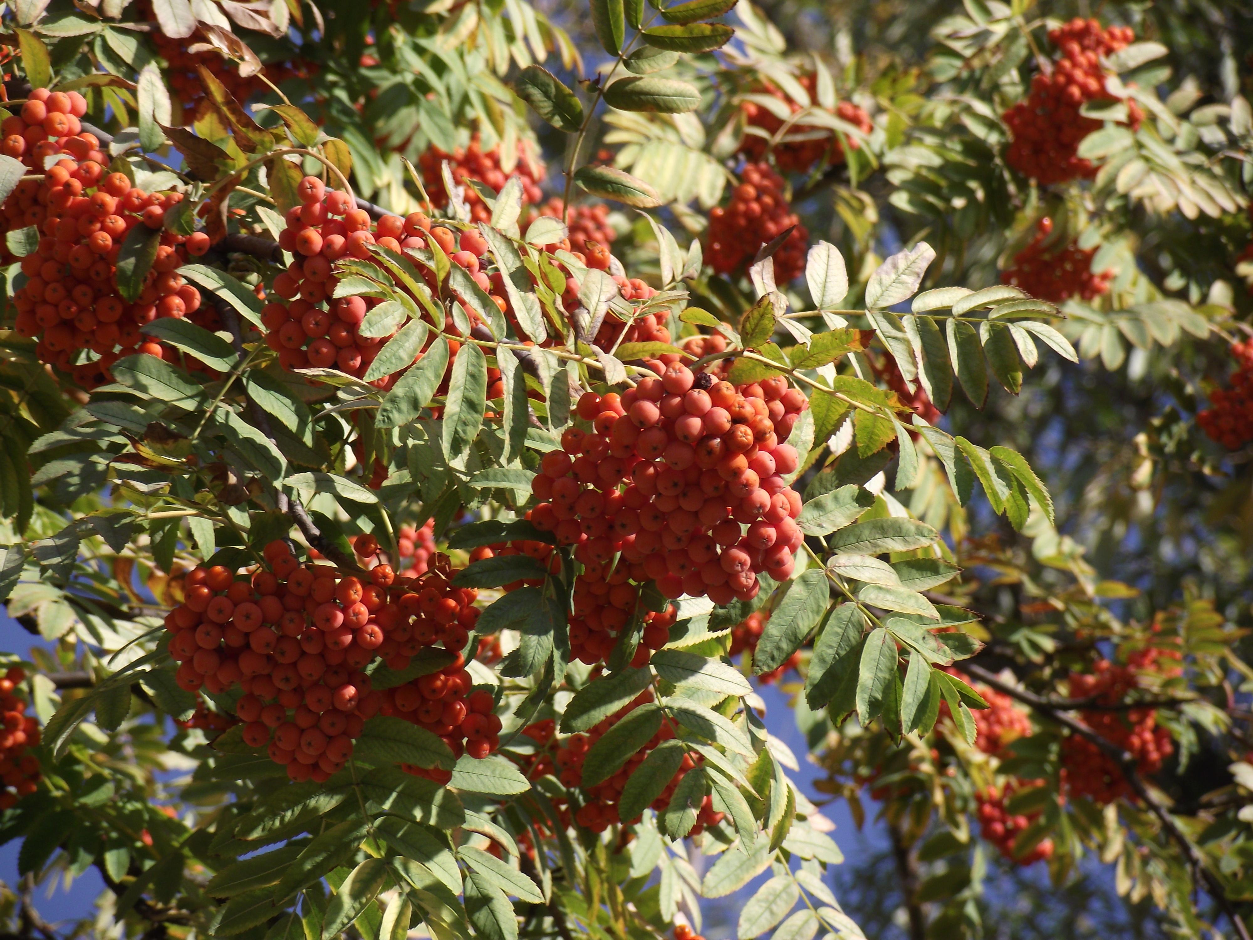 Wild Ash, Wild, Red, Berries, Plant, HQ Photo