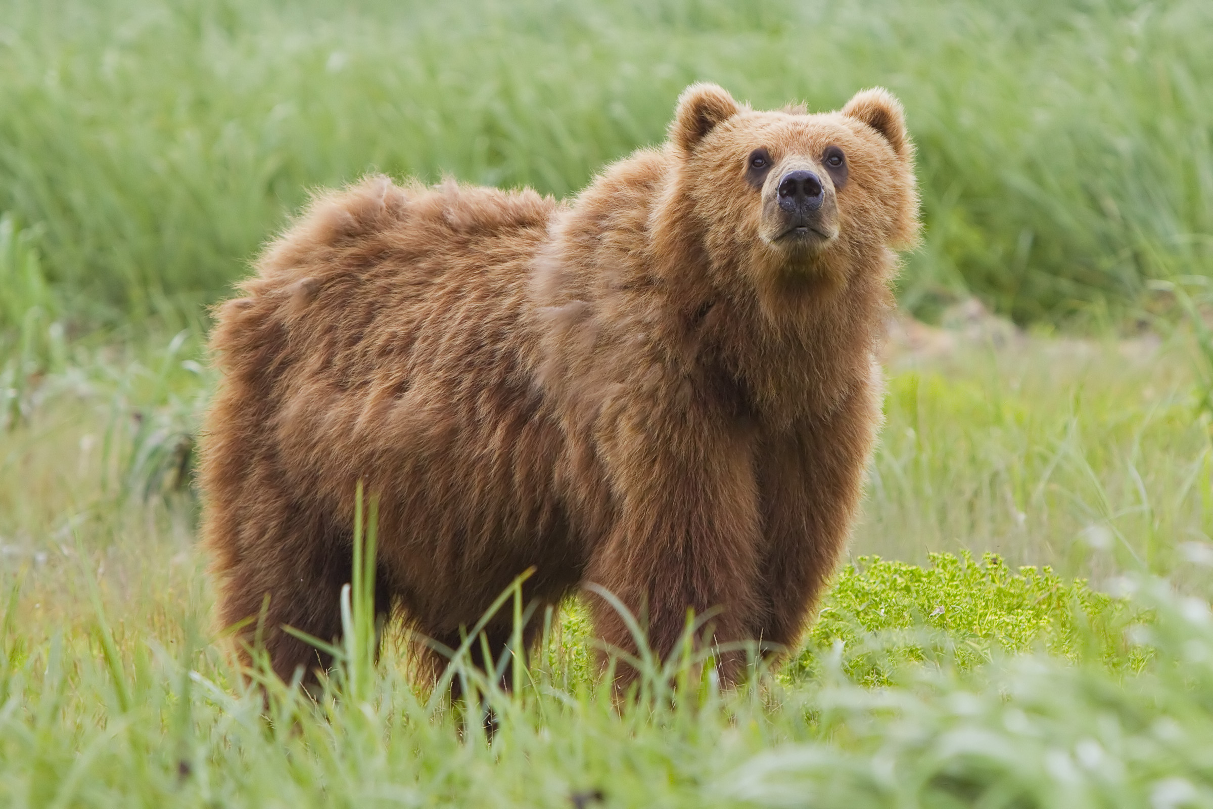 Brown bear - Wikipedia
