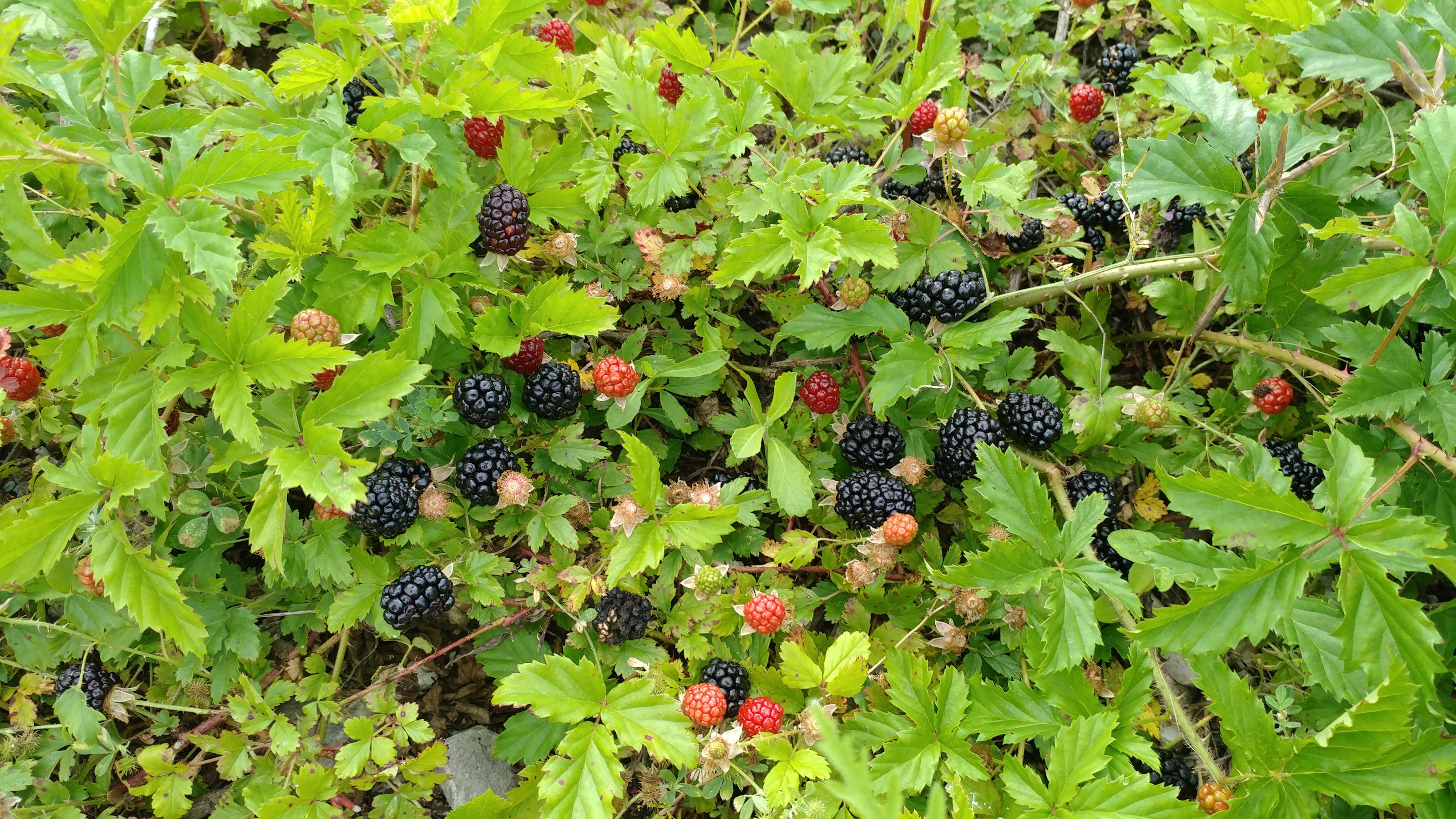 Texas Wild Berries - Album on Imgur