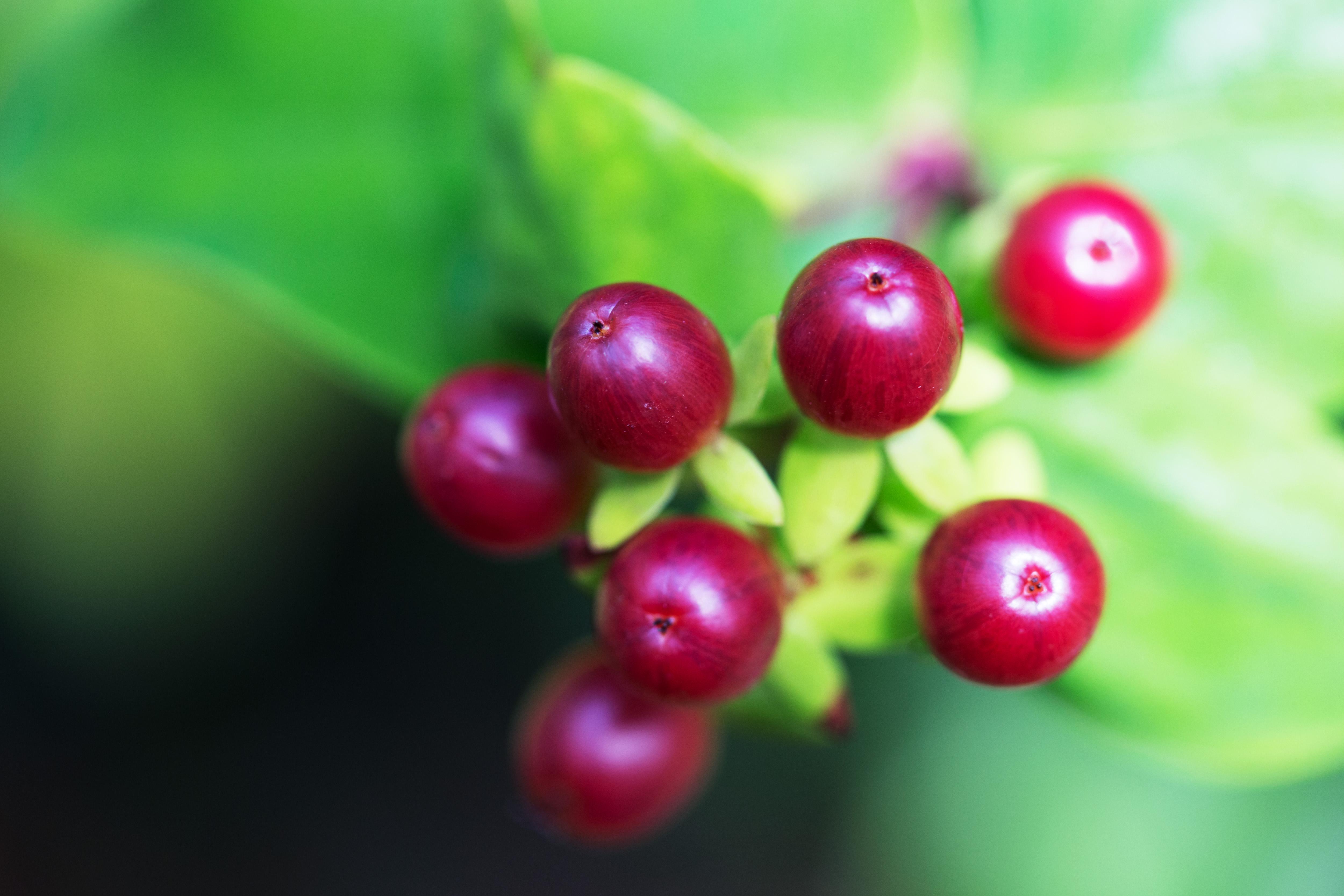 Wild Berries Free Photo - ISO Republic