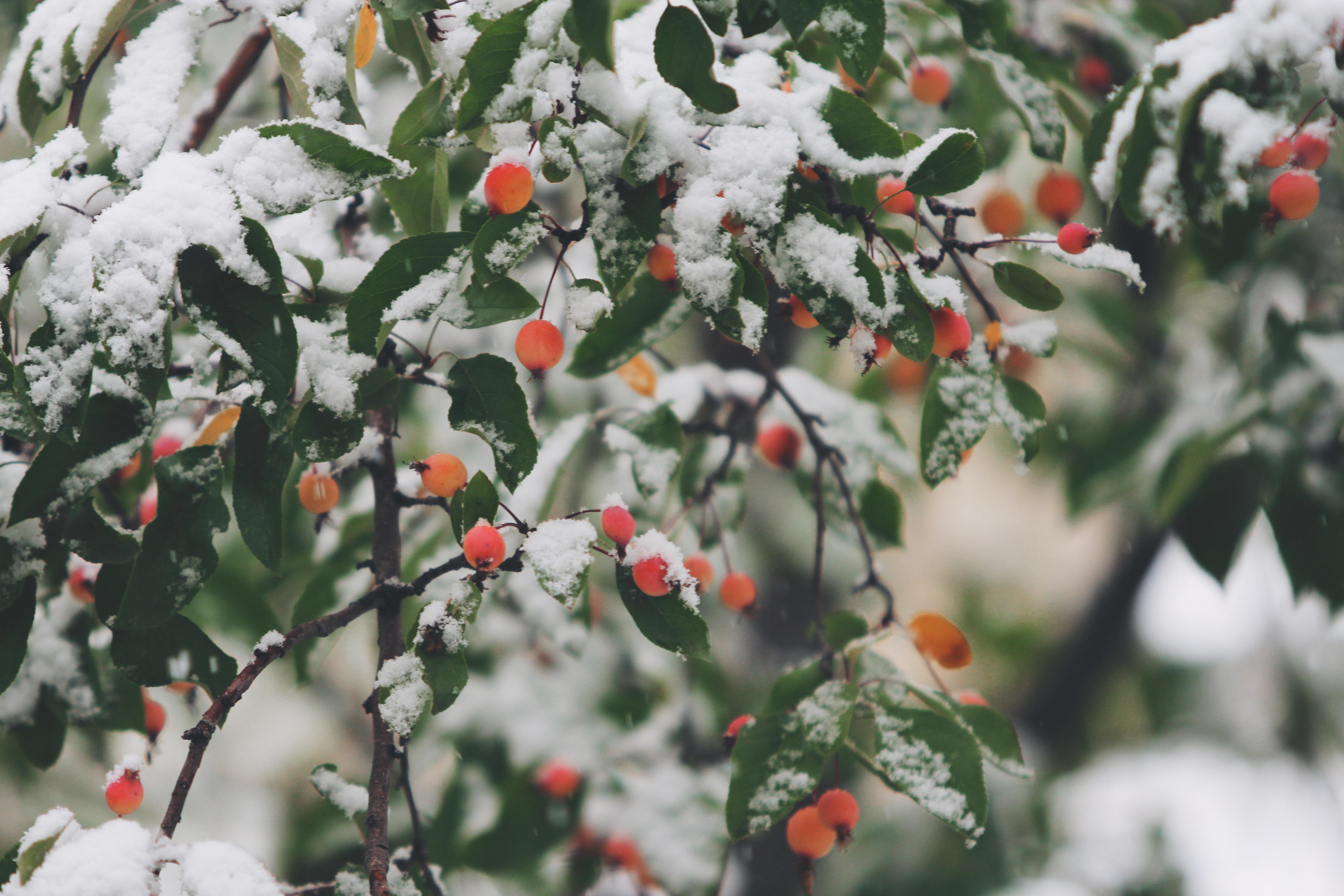 Wild Berries, Berries, Fruit, Snow, Tree, HQ Photo