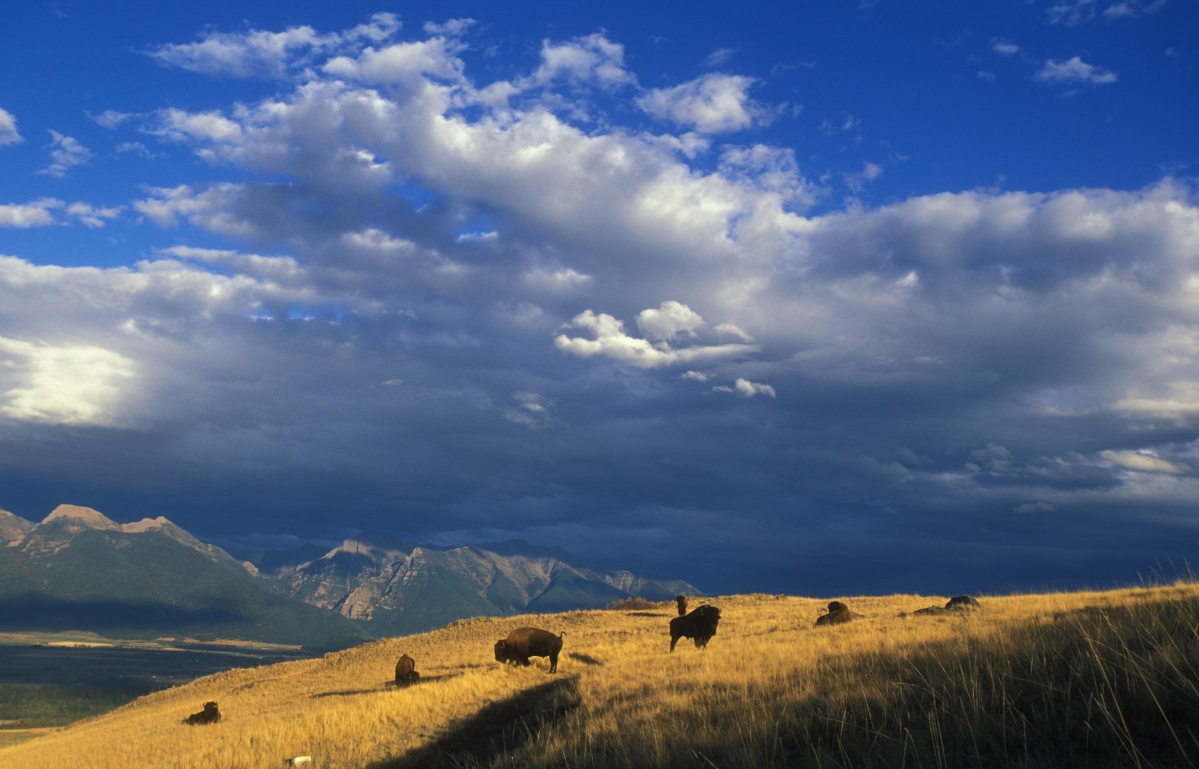 Wild bison photo