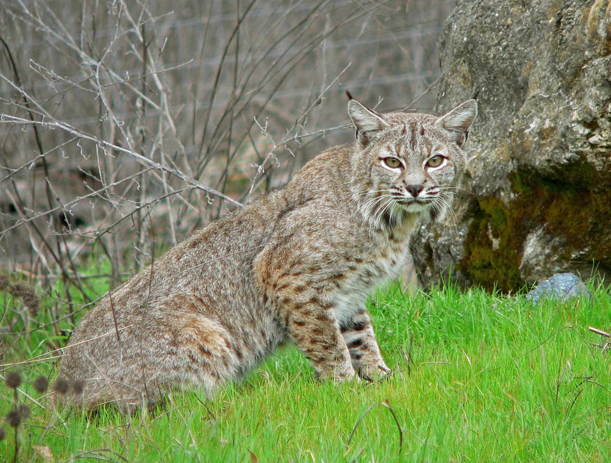 Wild Bobcat, Animal, Bob, Bobcat, Cat, HQ Photo