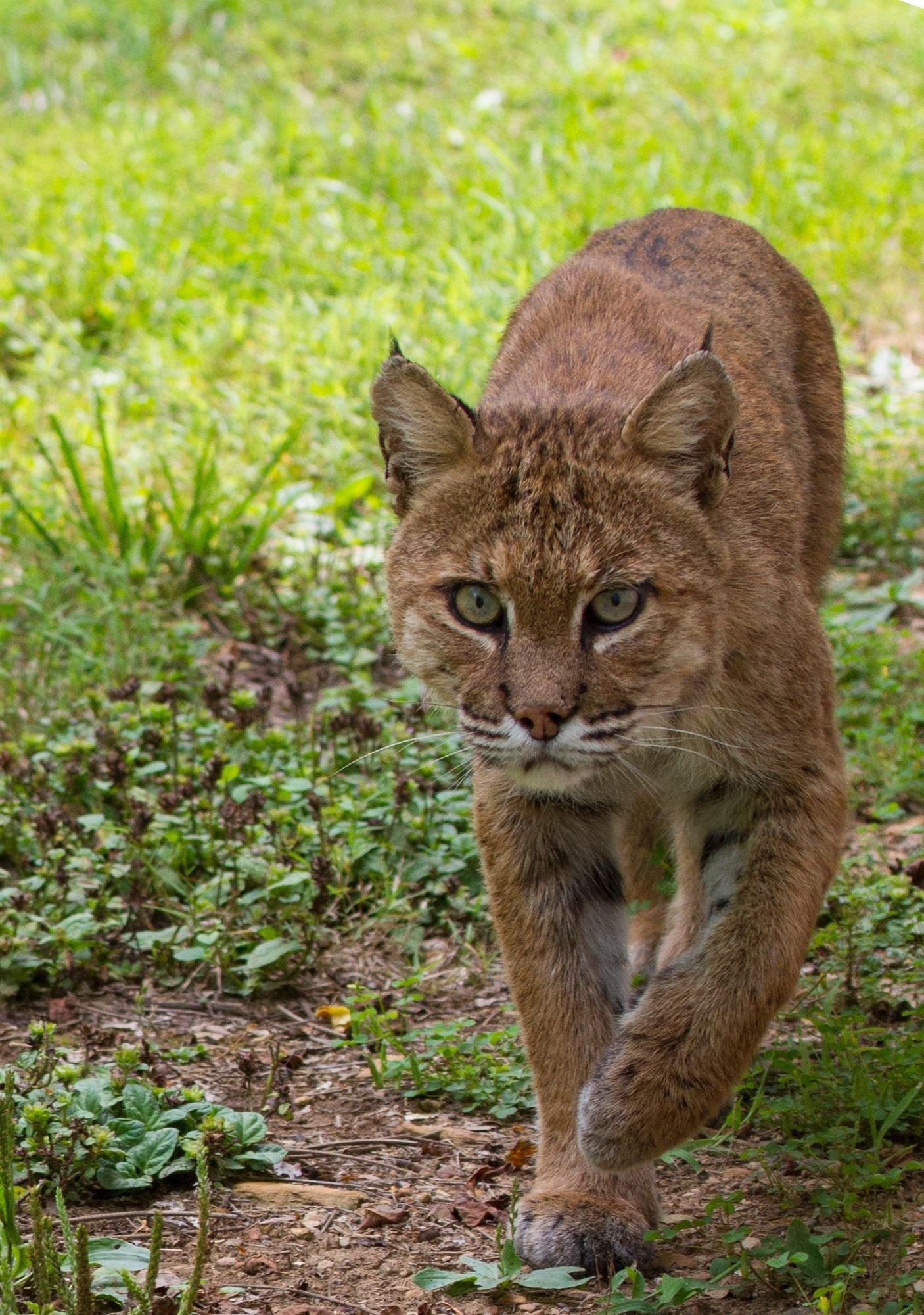 Wild bobcat photo