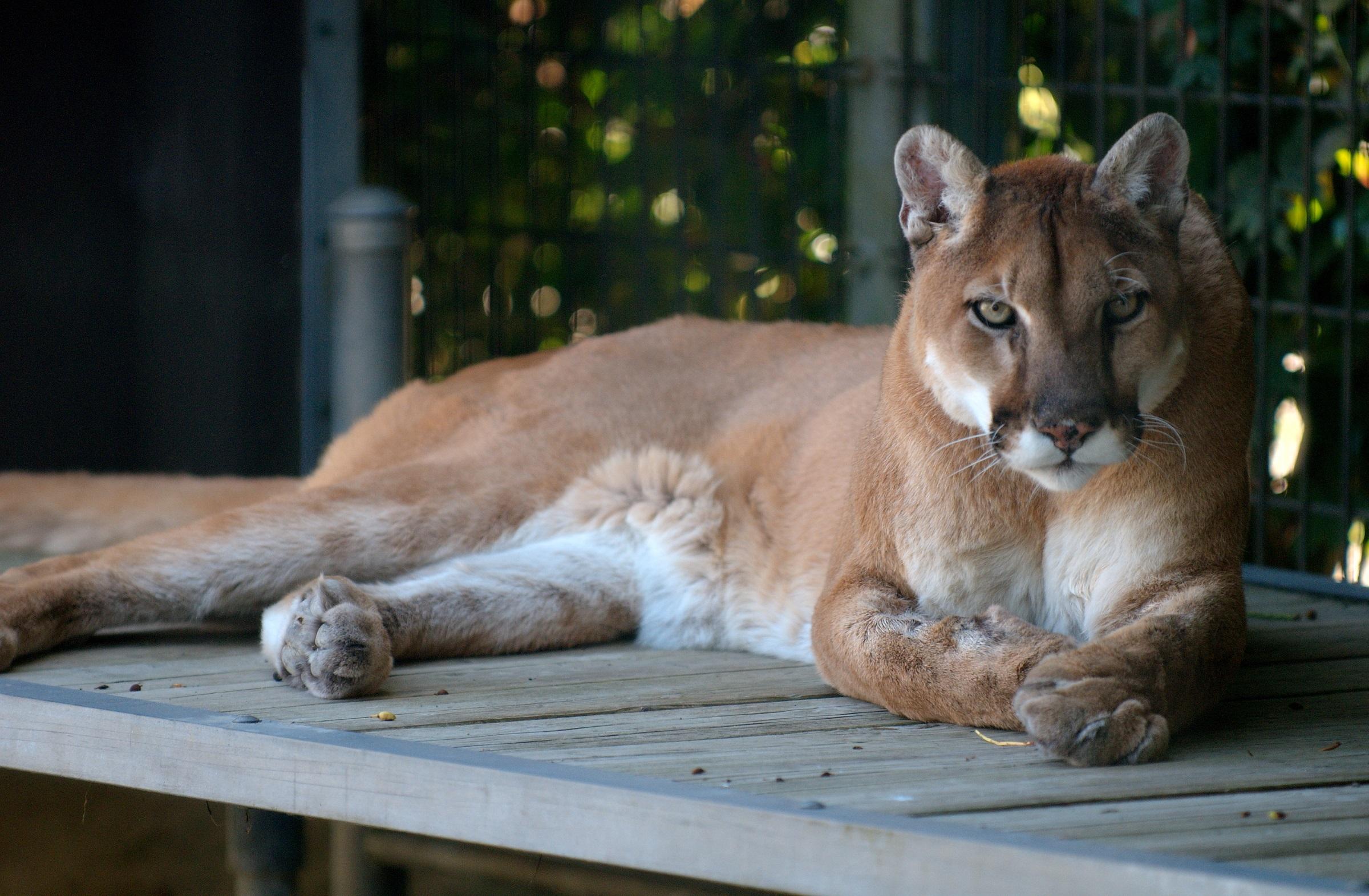 Wild cougar photo