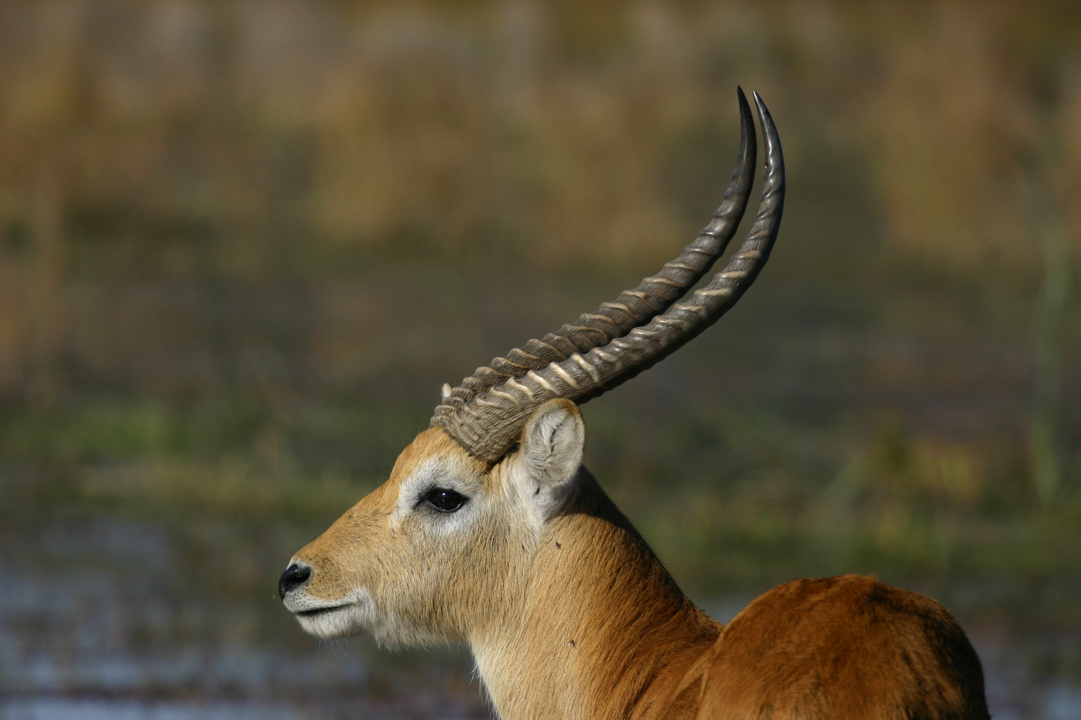 Wild Deer, Animal, Deer, Jungle, Nature, HQ Photo