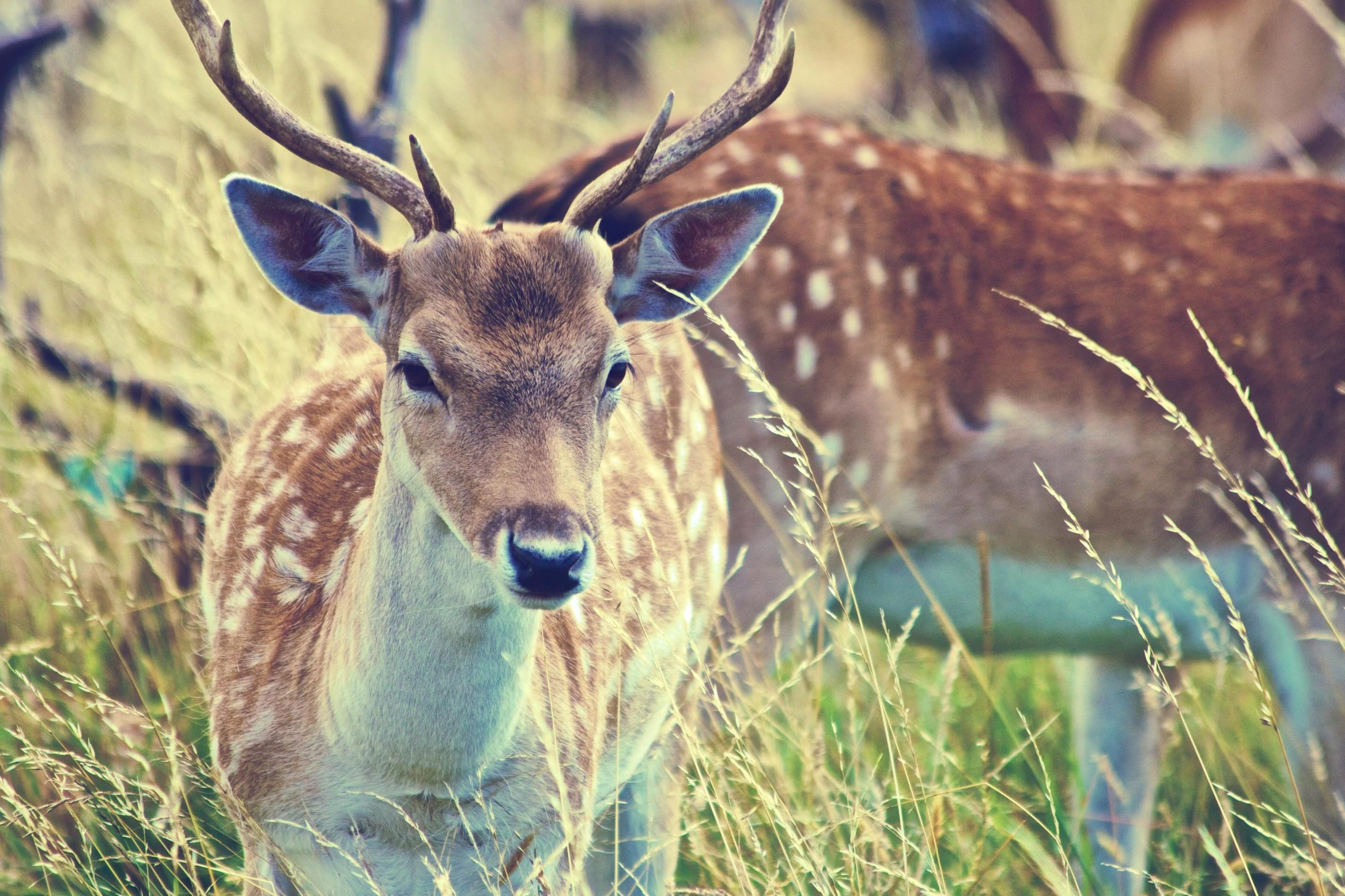 Free picture: deer, wildlife, nature, grass, animal, wild, antlers ...