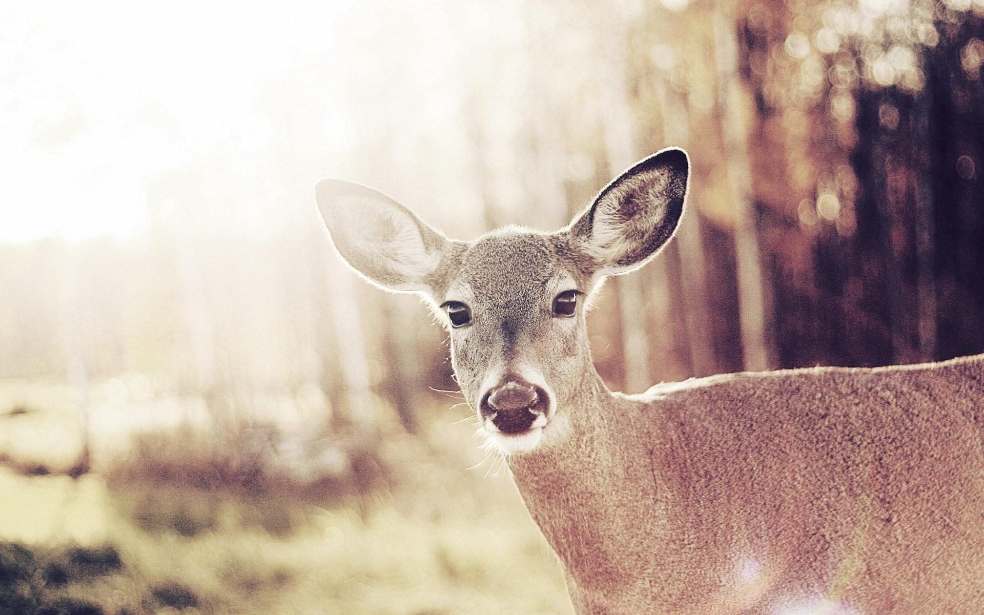 Cute Wild Deer Bambi Desktop Wallpaper