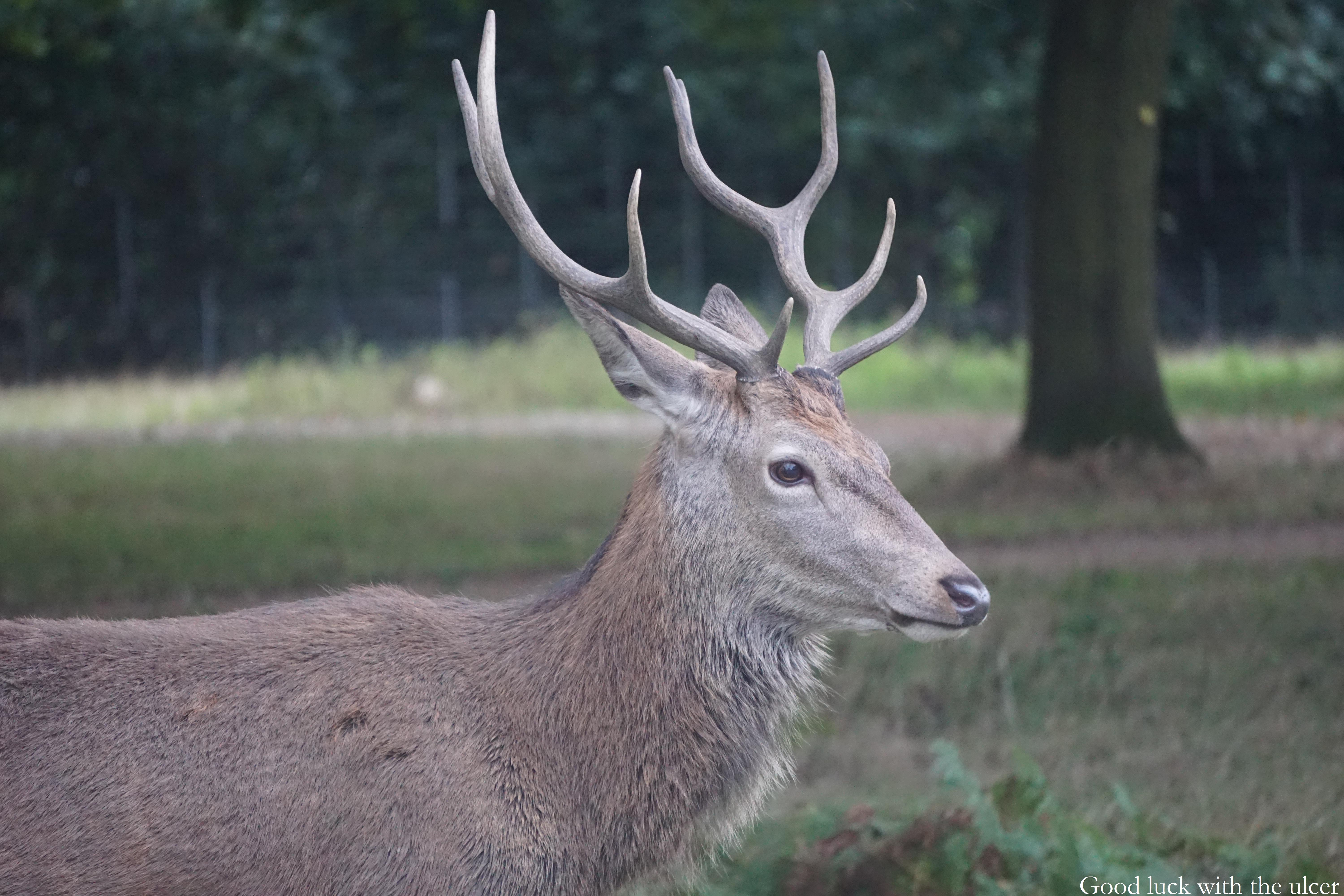 Wild deer and where to find them | Good luck with the ulcer