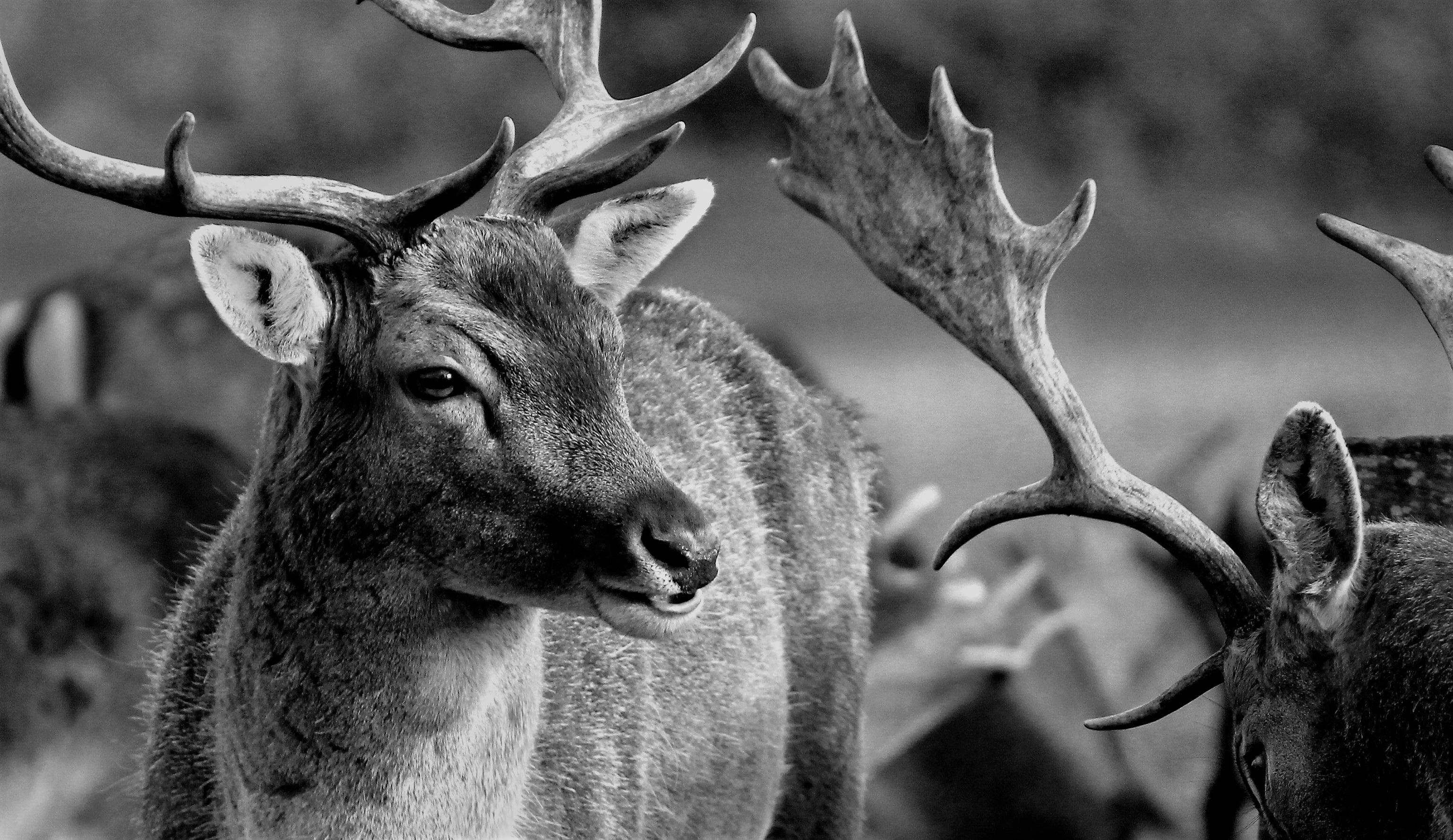 Wild Deer, Animal, Closeup, Deer, Fur, HQ Photo