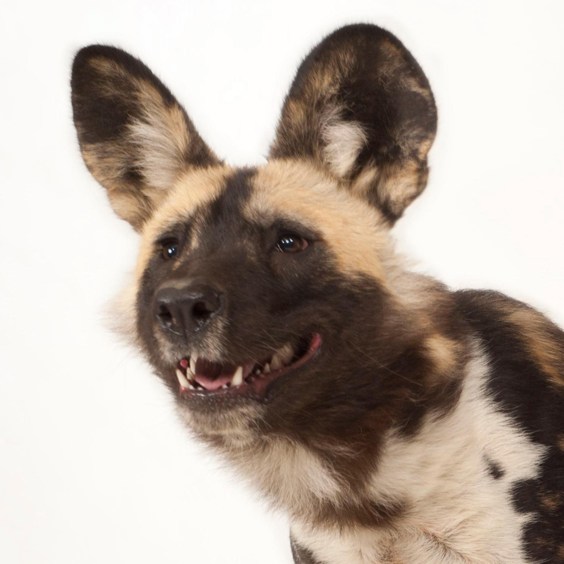 African Wild Dog | National Geographic