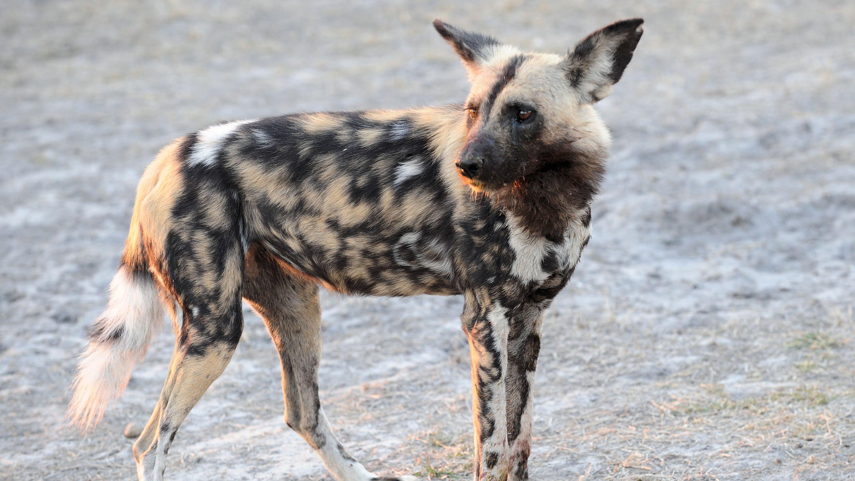 Wild dog photo