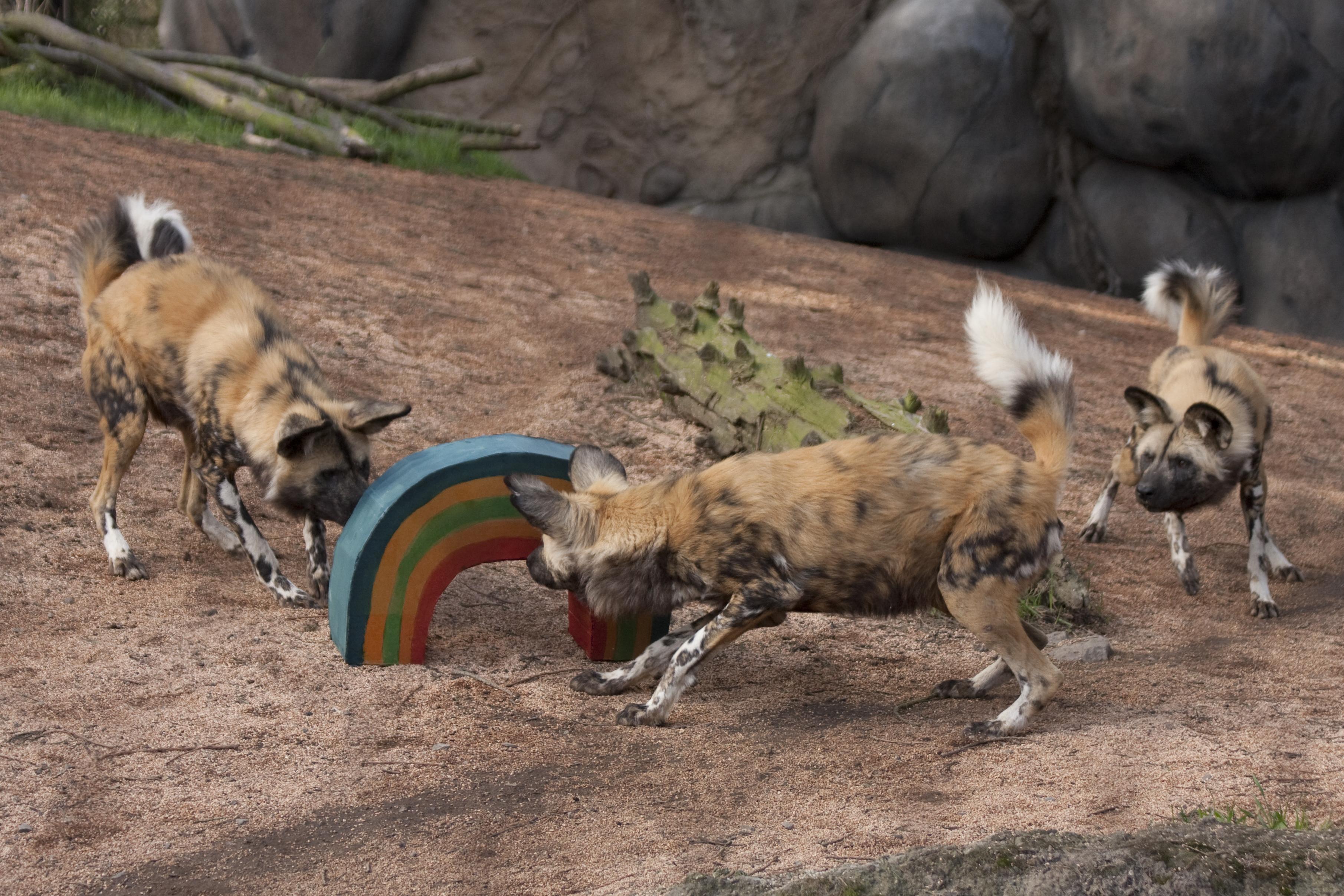 African wild dog   Oregon Zoo