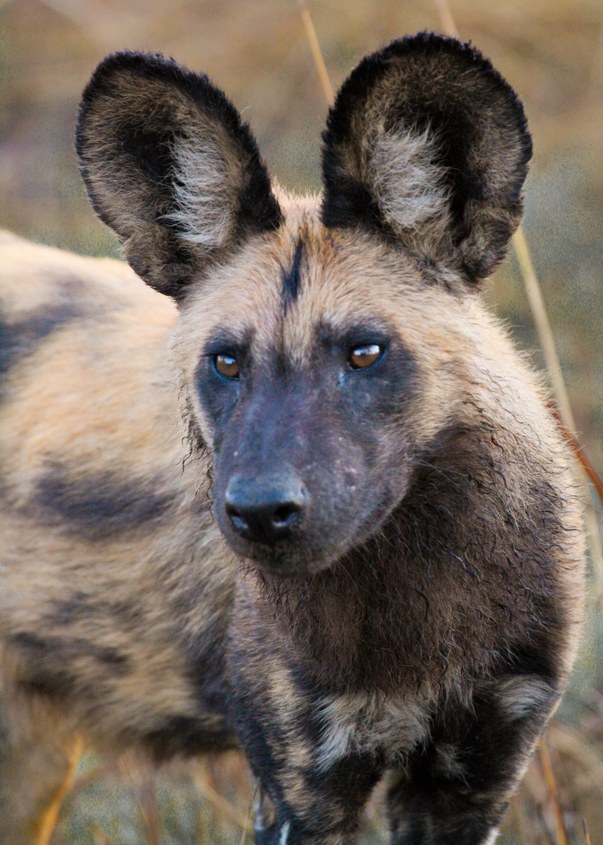 African Wild Dogs; Estimating populations and monitoring habitat use ...