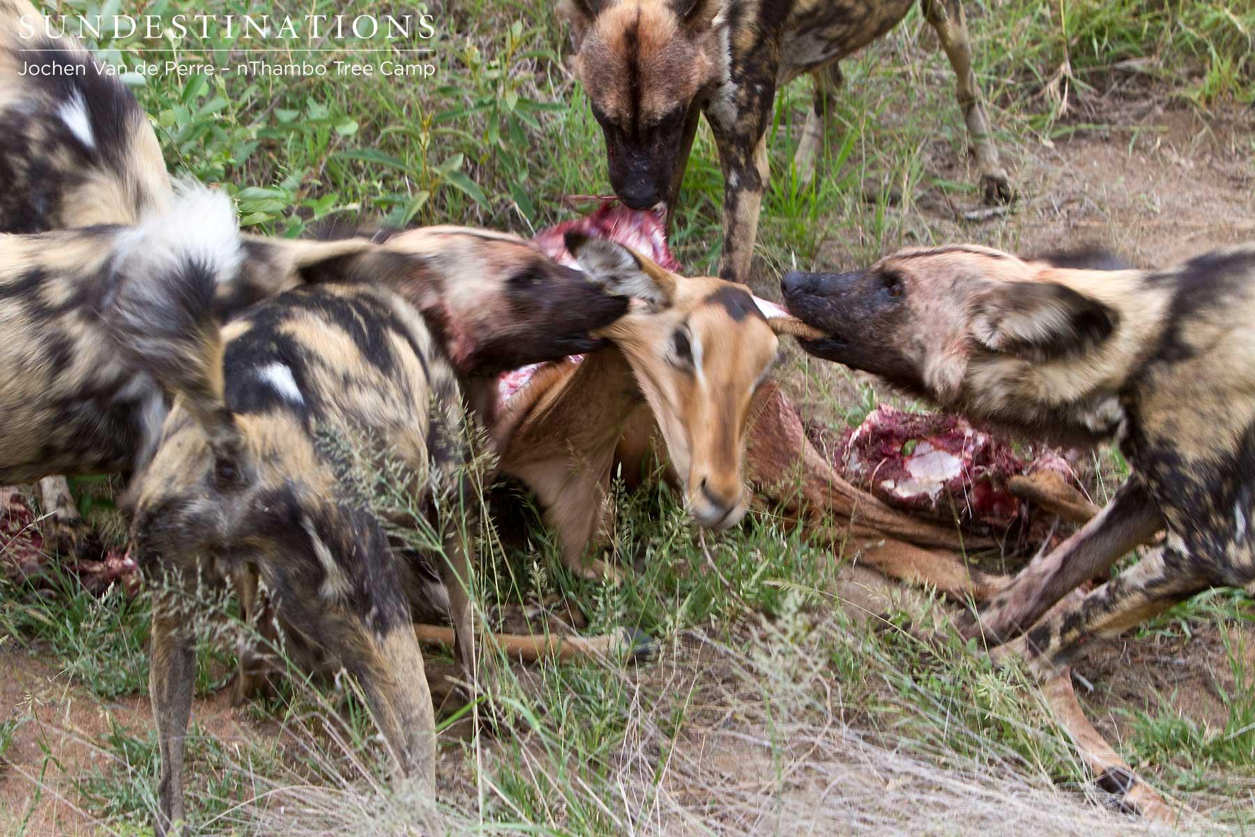VIDEO - Wild Dog hunt in the Klaserie