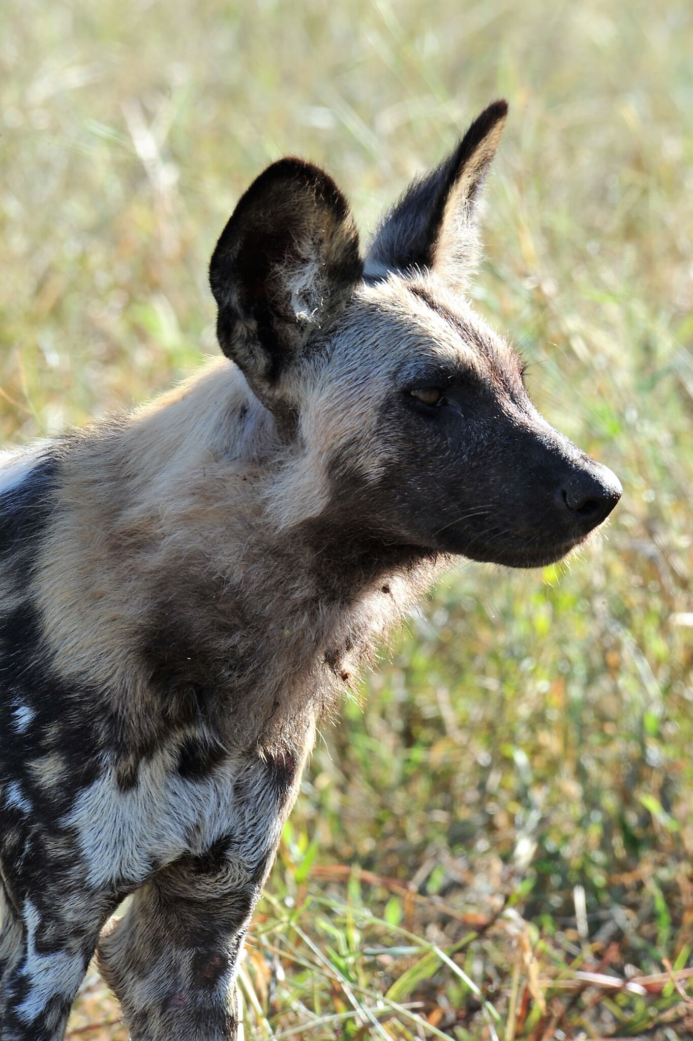 How Do African Wild Dogs Decide to Start Hunting? - The Wire