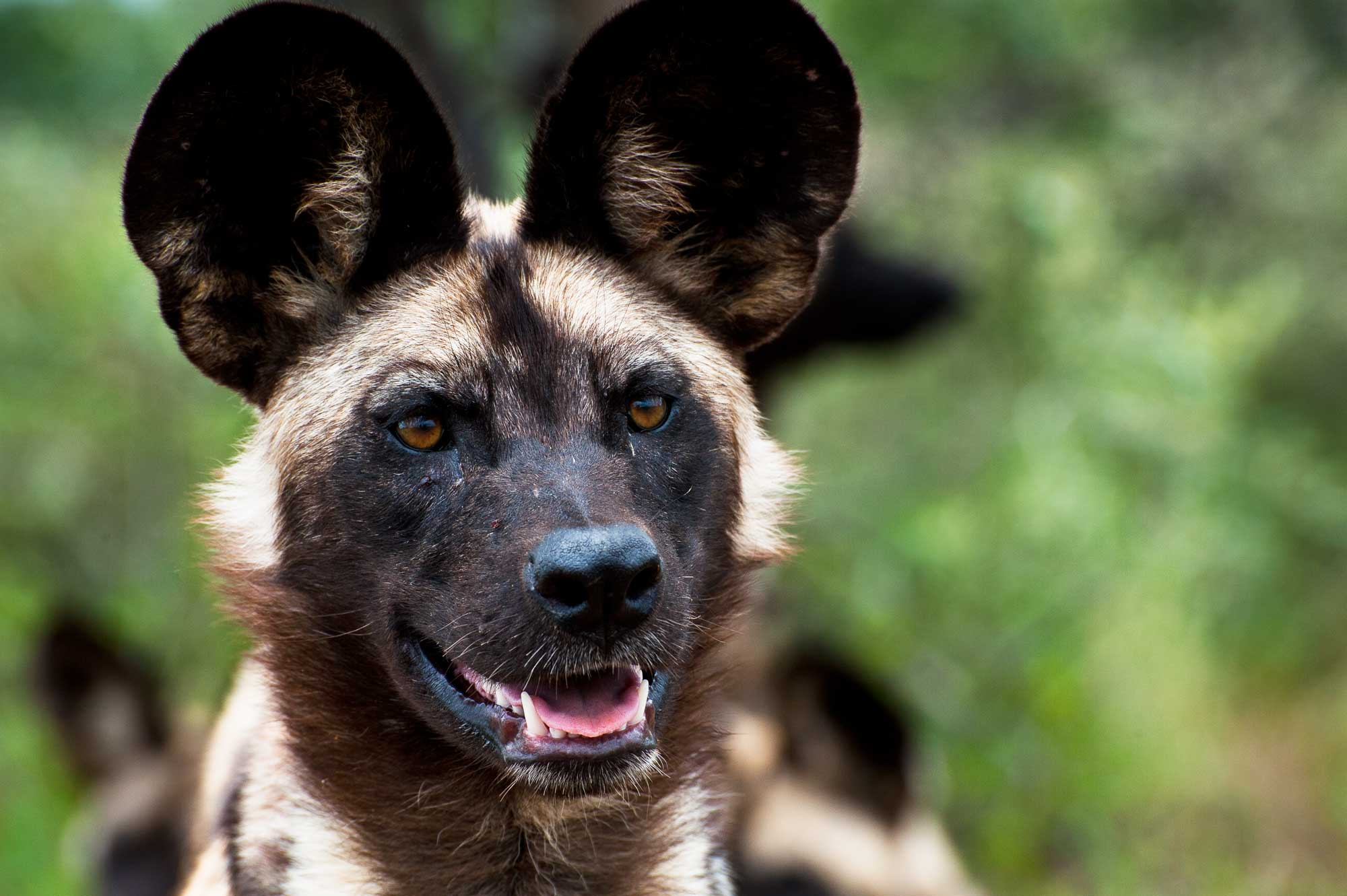 African wild dog now a protected species in Namibia - Travel News ...